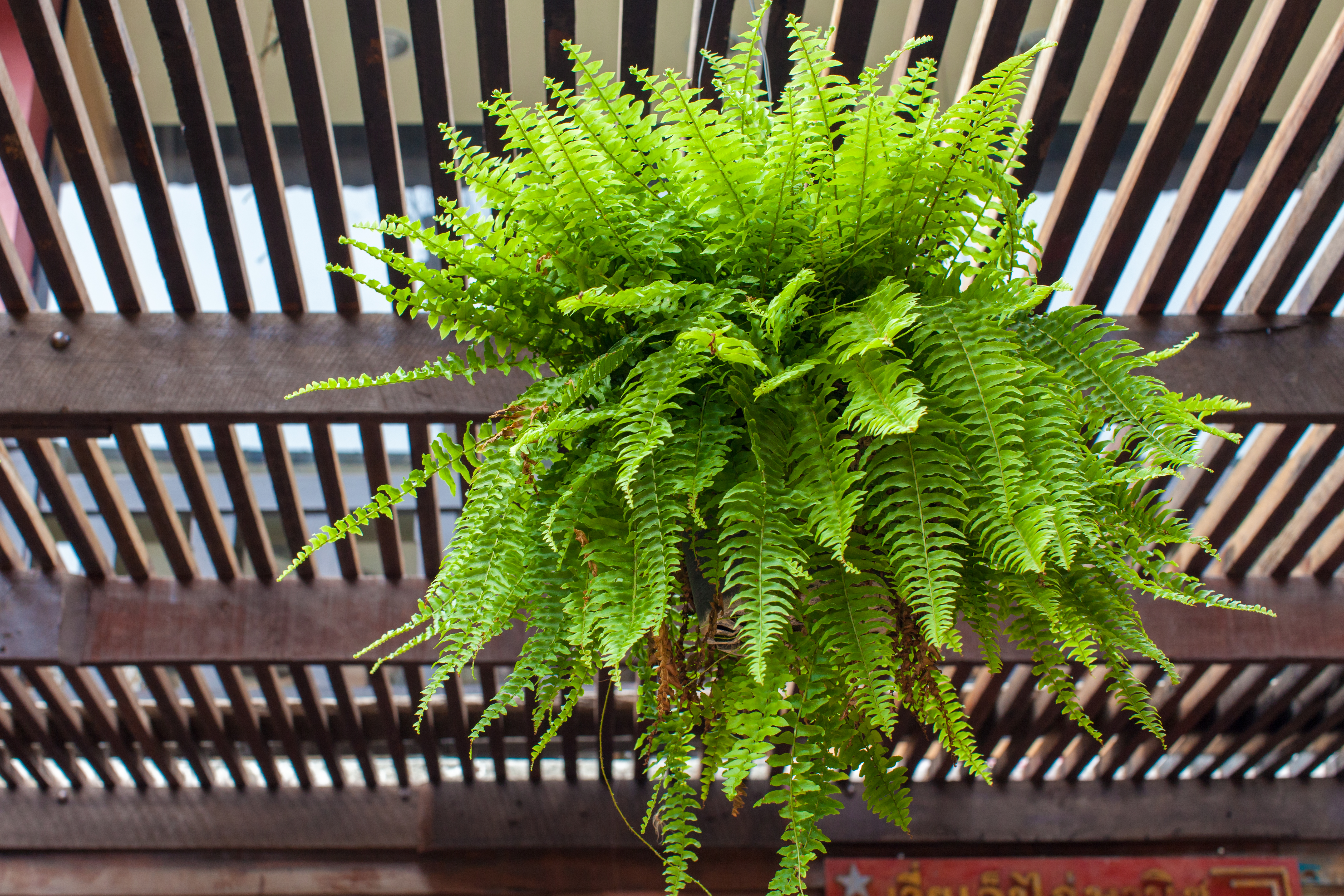 How to Care for Ferns in Hanging Pots | Home Guides | SF Gate Rainbow Fern House Plant on rainbow eucalyptus plant, rainbow hibiscus plant, rainbow rose plant, rainbow iris plant, rainbow cactus plant, rainbow bleeding heart plant, rainbow bamboo plant, rainbow fern care, rainbow orchid plant, rainbow jasmine plant, rainbow leaf plant, rainbow coleus plant, rainbow flower plant, red spiky plant, indian tobacco plant, rainbow moss, rainbow chrysanthemum plant, rainbow strawberry plant, rainbow hyacinth plant, rainbow evergreen plant,