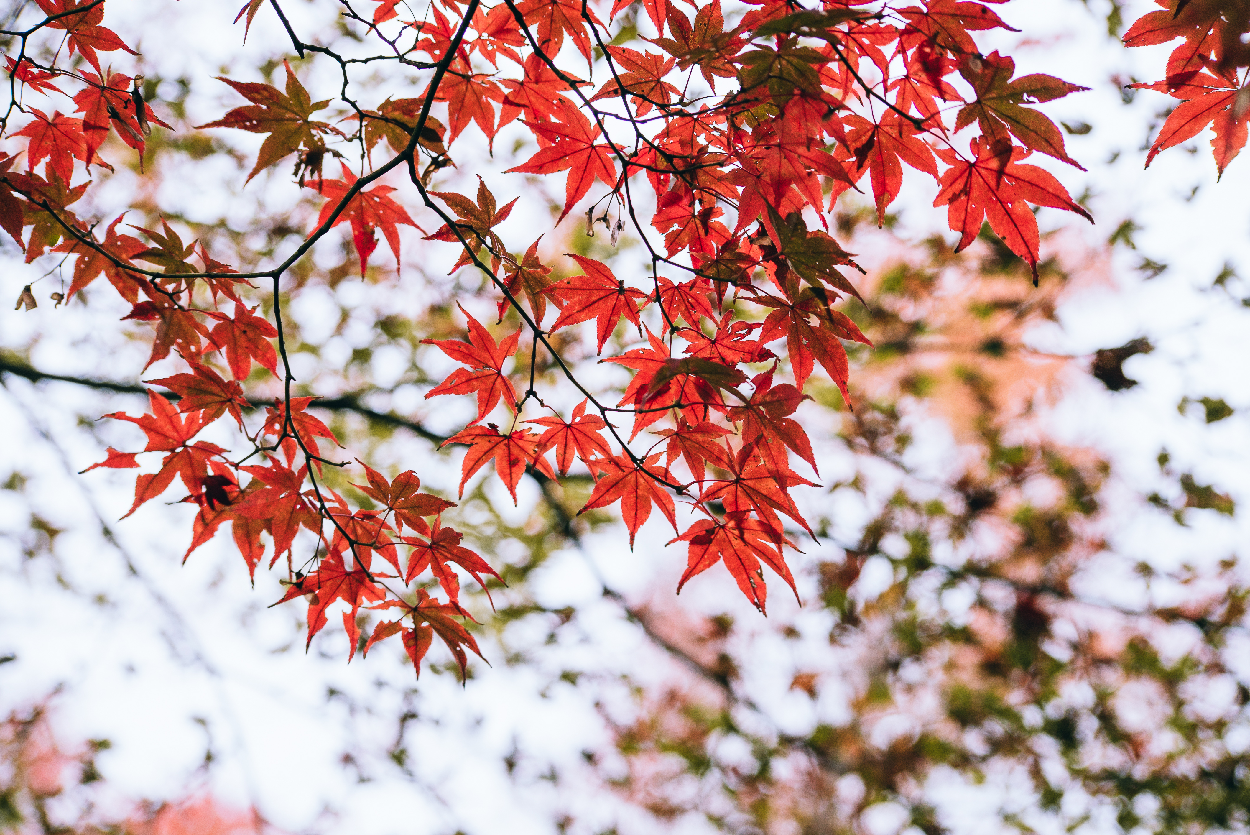 How to Germinate a Japanese Red Maple Seed | Home Guides