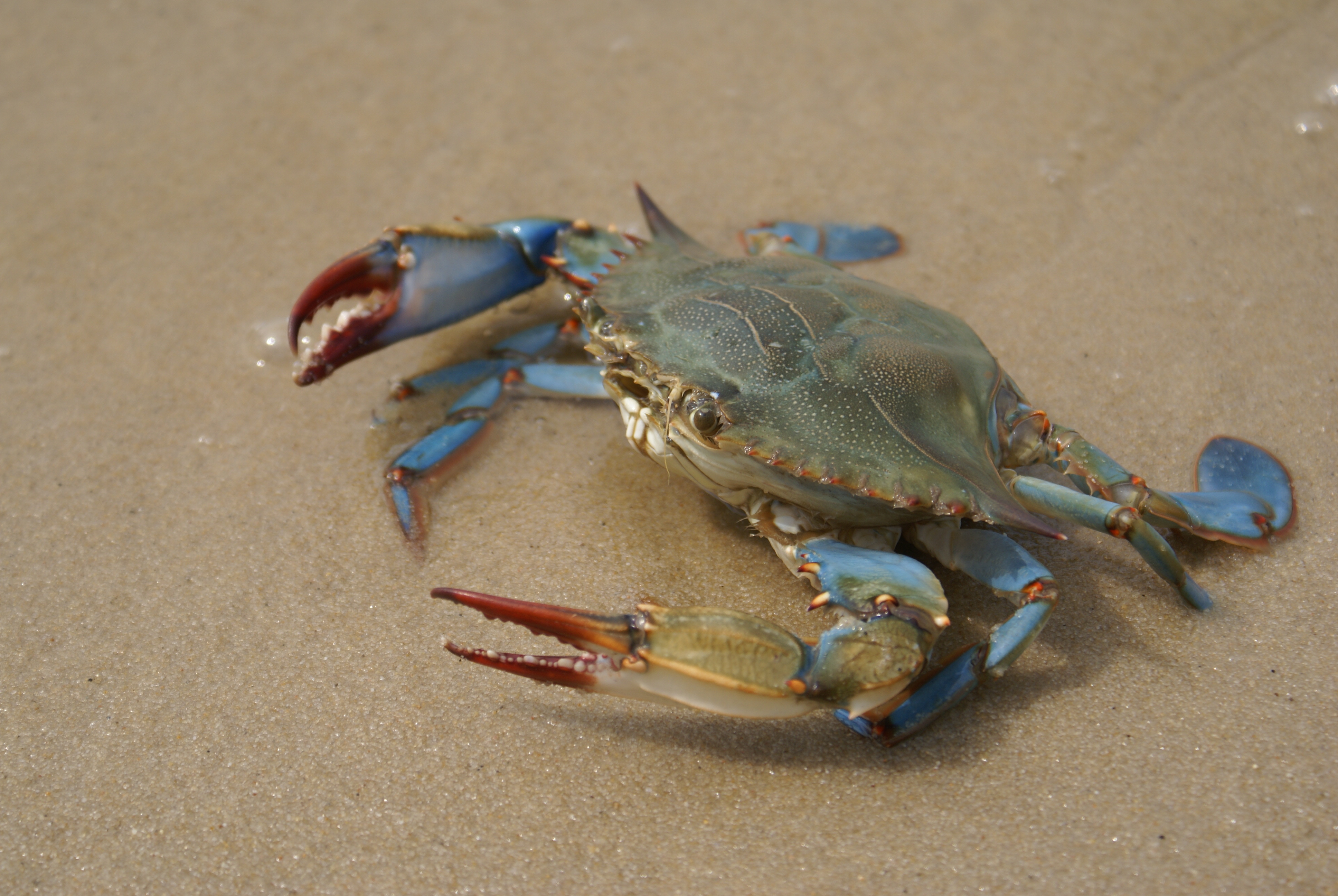 Where Can You Get Blue Crabs in Myrtle Beach? | USA Today