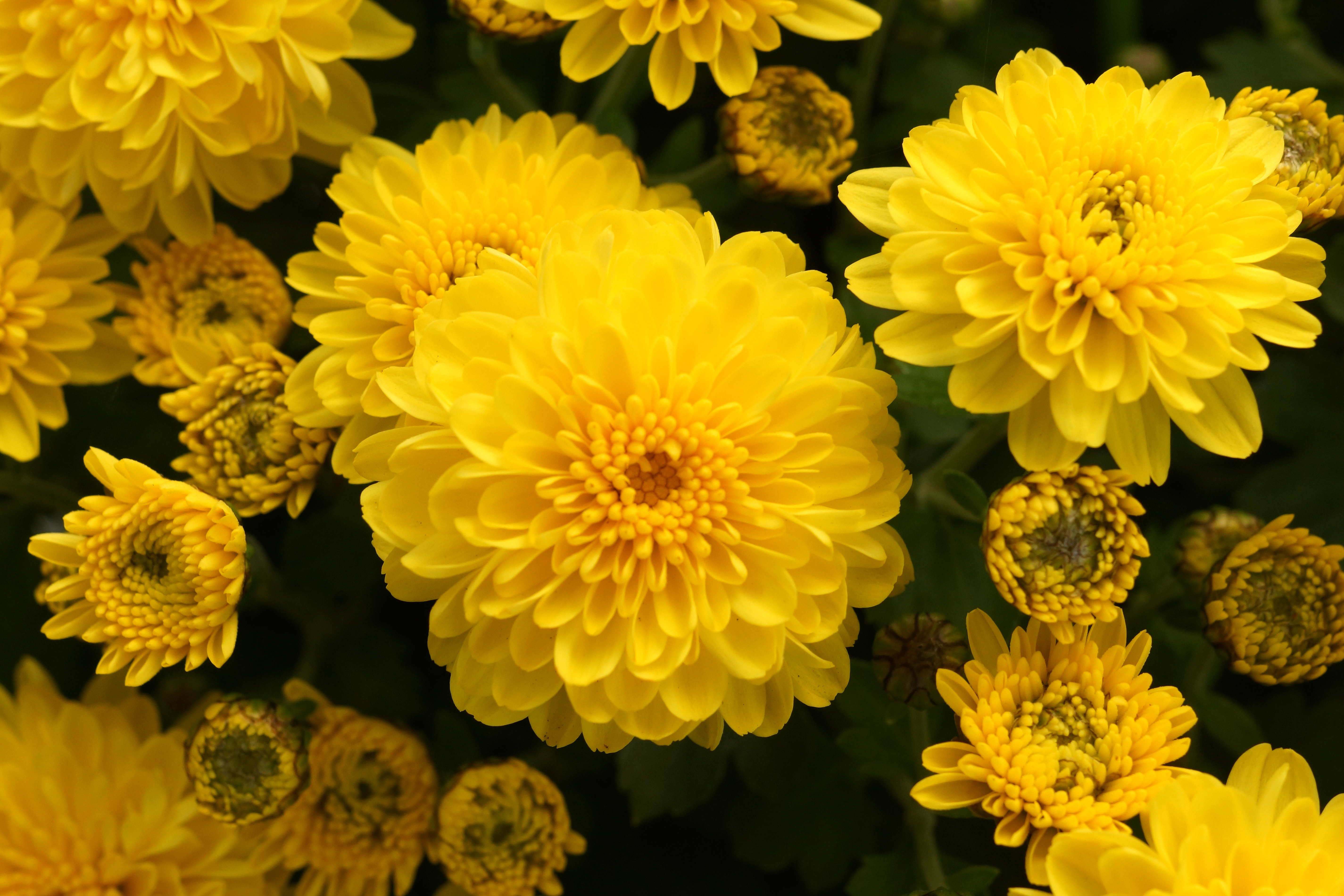 How To Grow Chrysanthemums From Cuttings