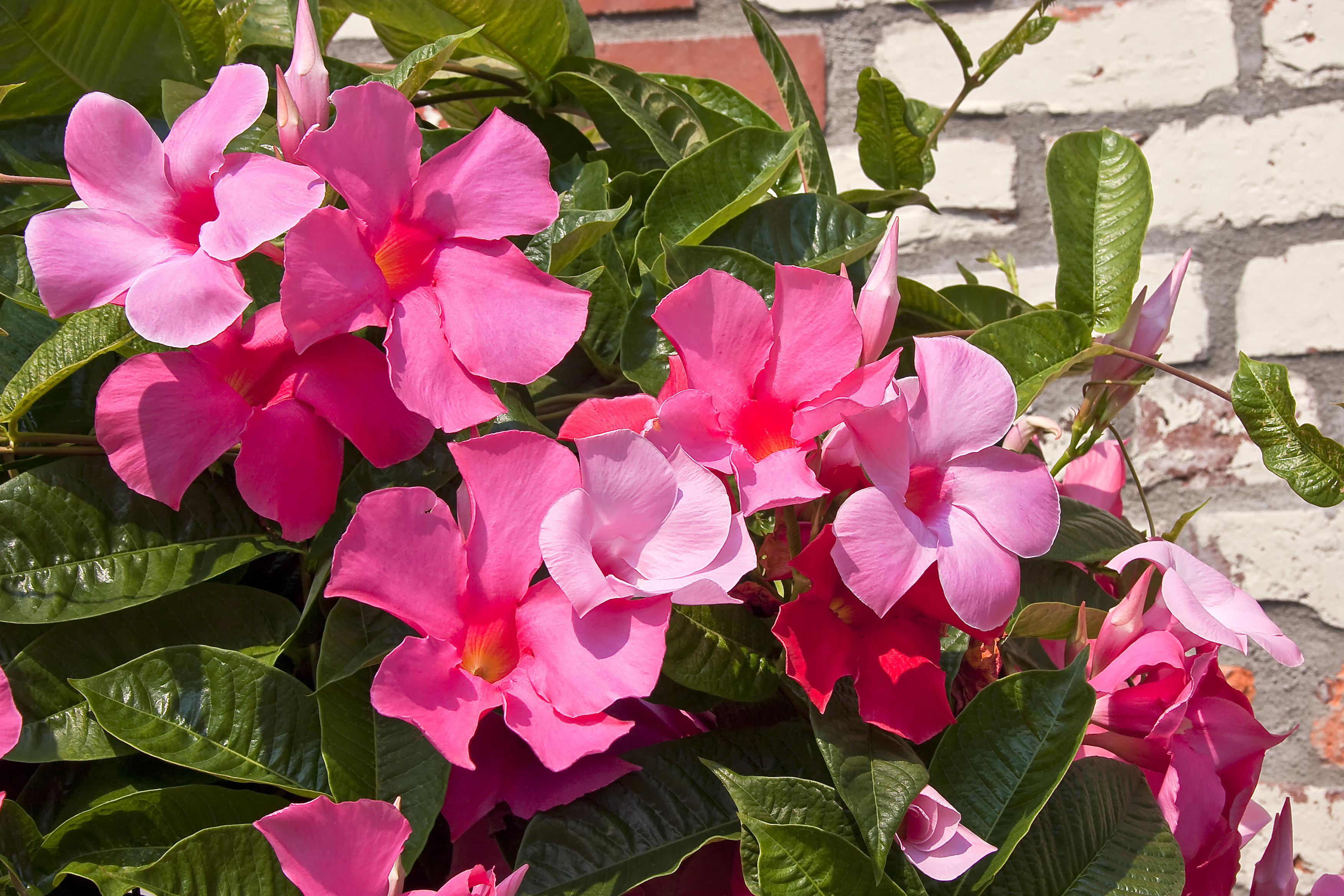 Are Mandevilla Flowers Toxic To Animals Home Guides Sf Gate
