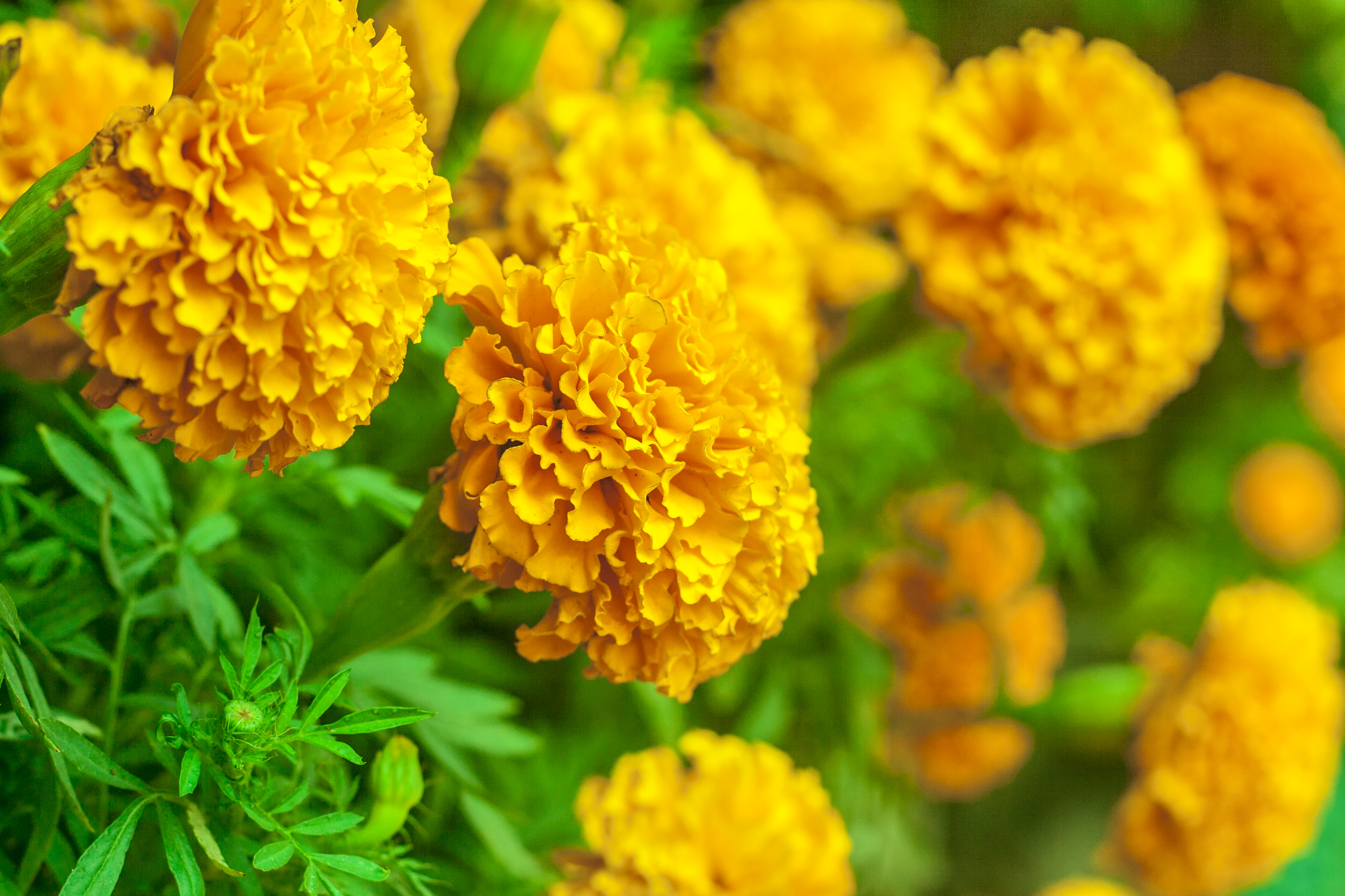 Not known Factual Statements About What Birds Eat Marigold Seeds