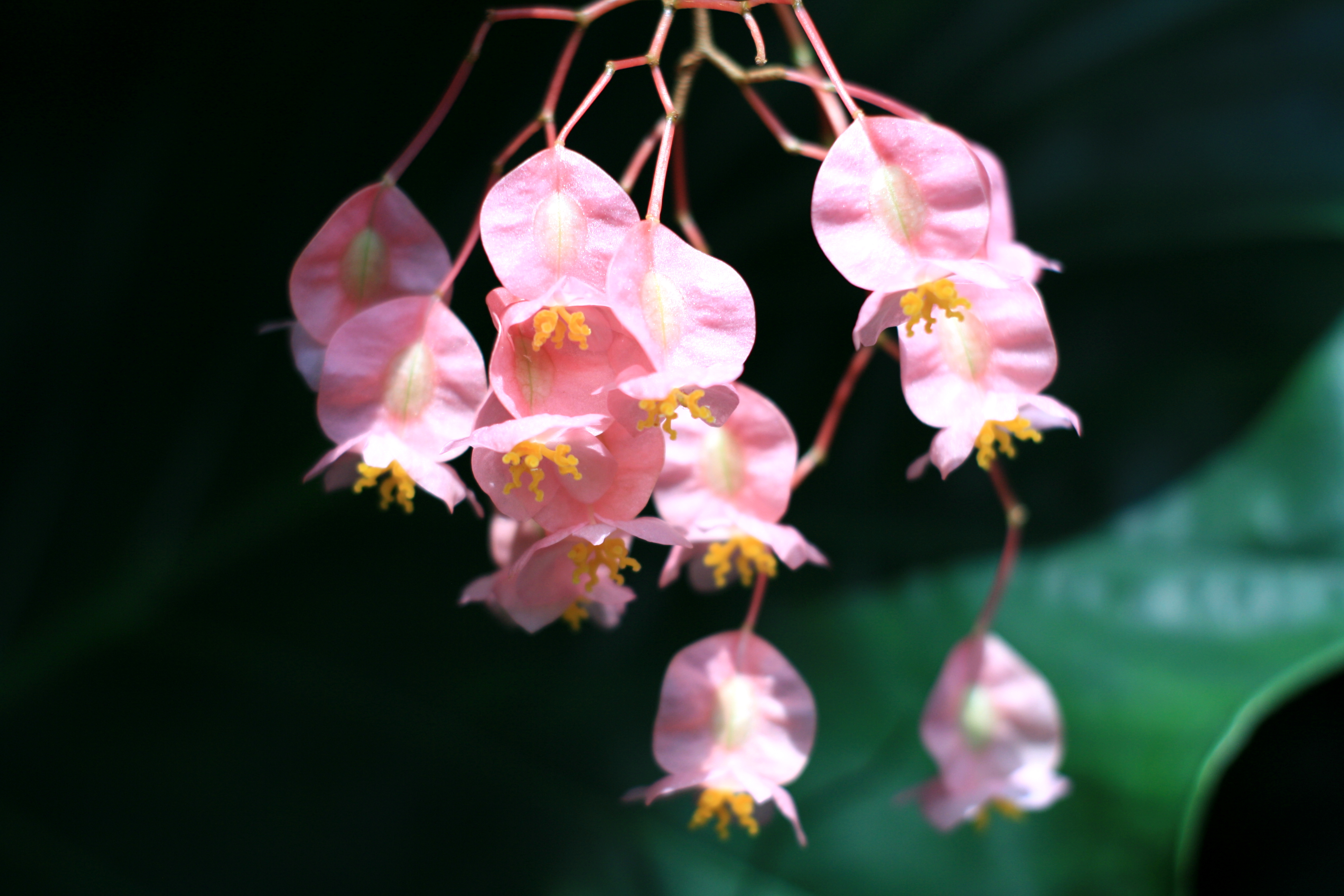 How To Get An Angel Wing Begonia Plant To Bloom Home Guides Sf