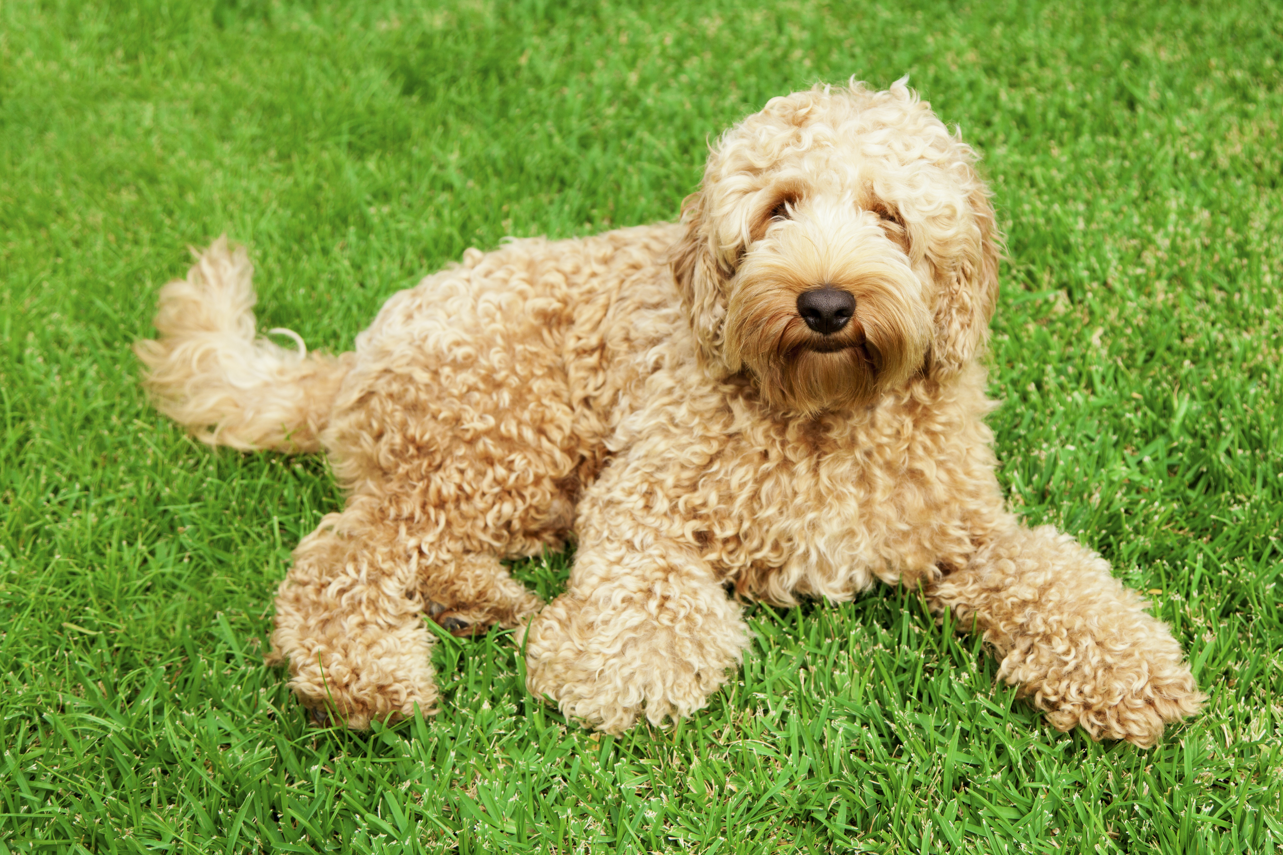 Big Dogs With Short Curly Hair 30