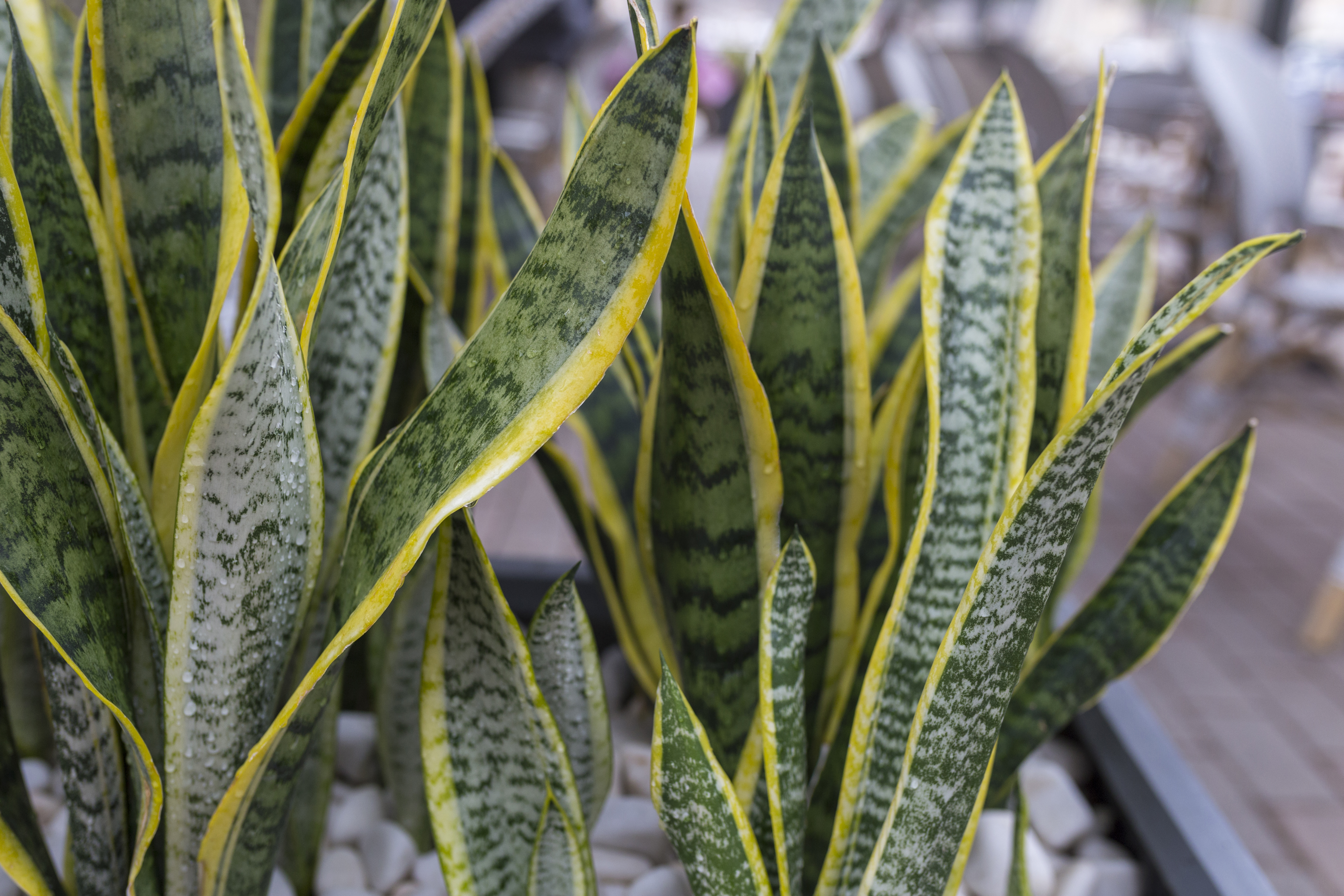 How to Fix Your Mother-in-Law Plant With Yellow Leaves