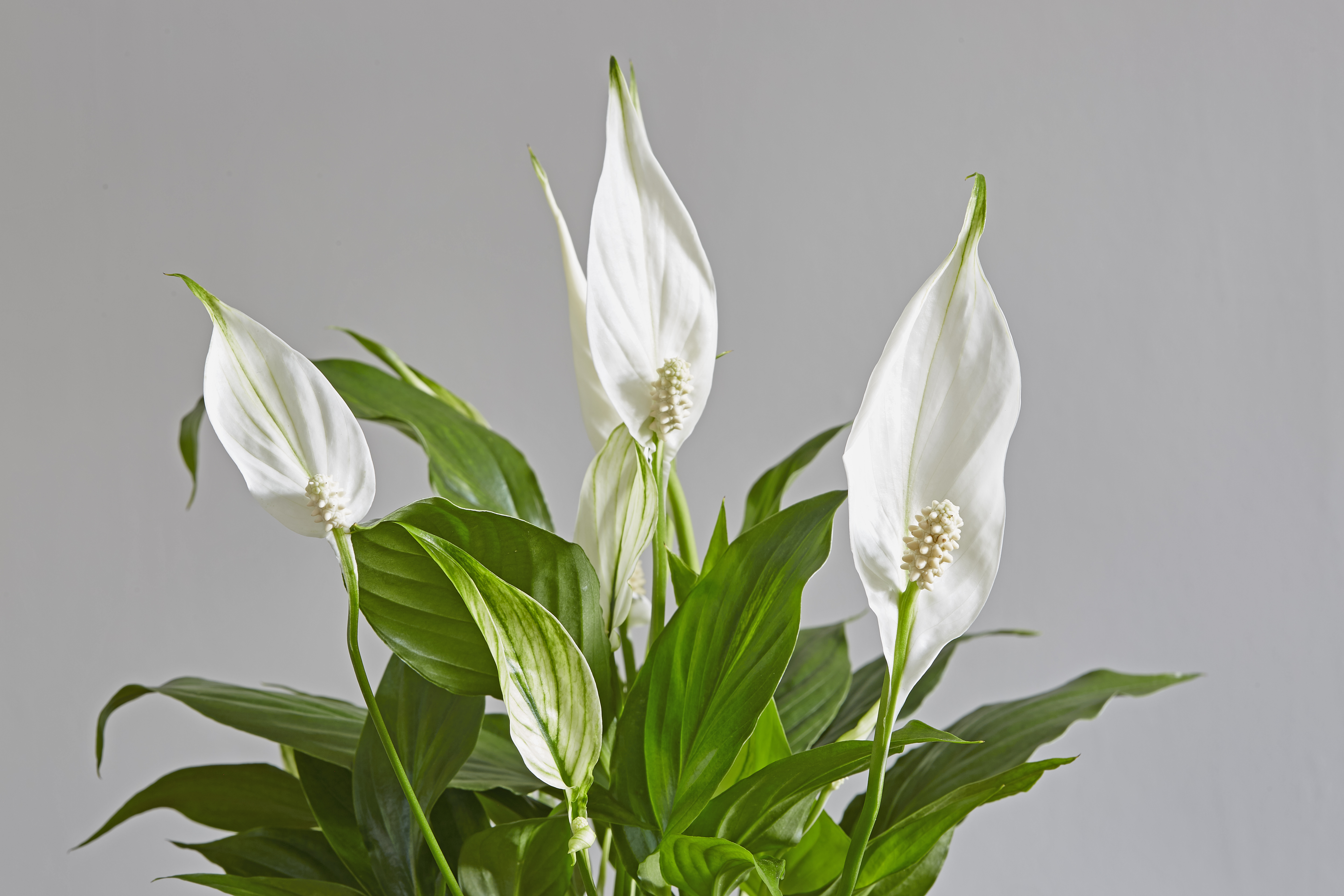 Peace Lily (Spathiphyllum Spp.)