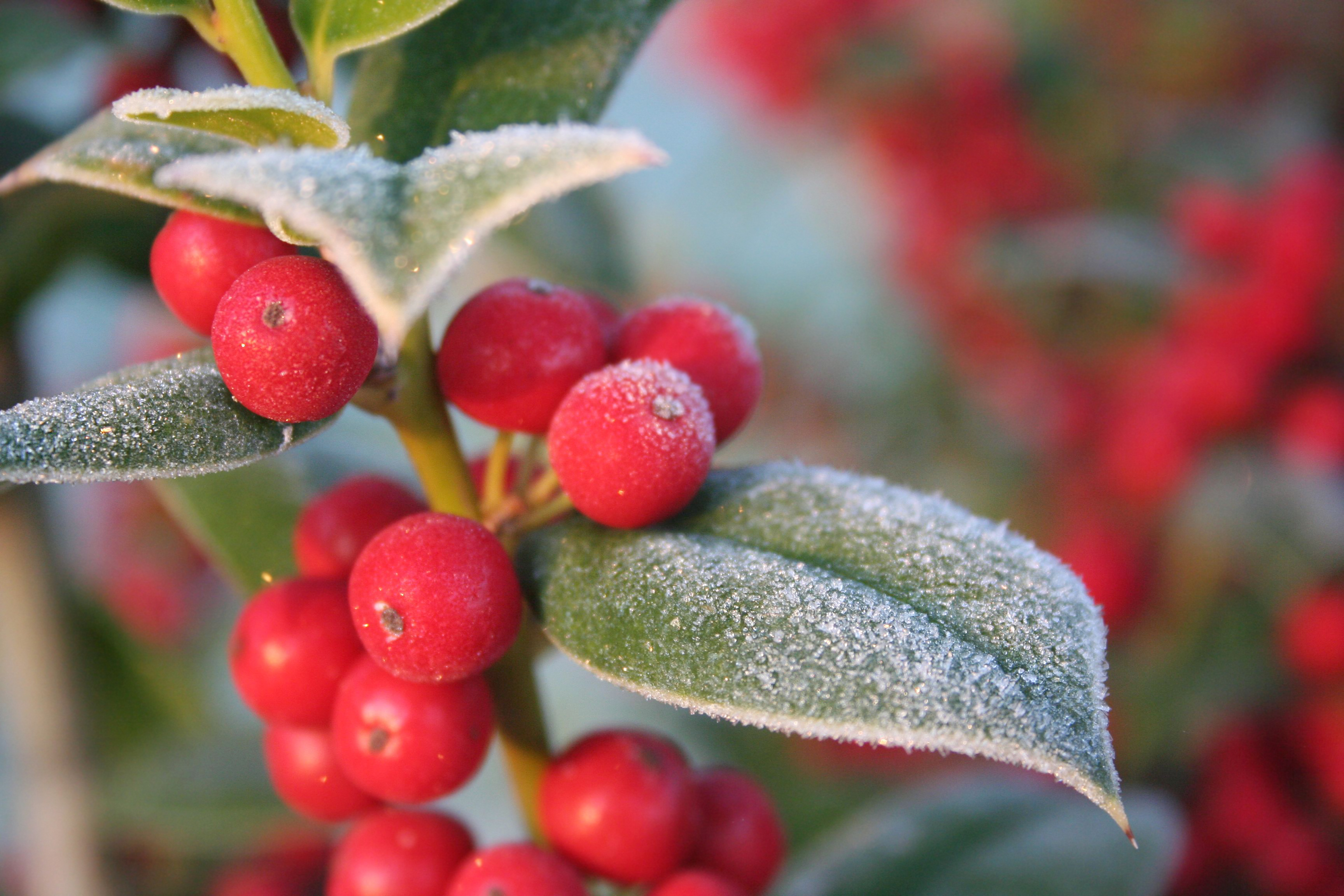 Bushes Or Shrubs With Red Berries Home Guides Sf Gate