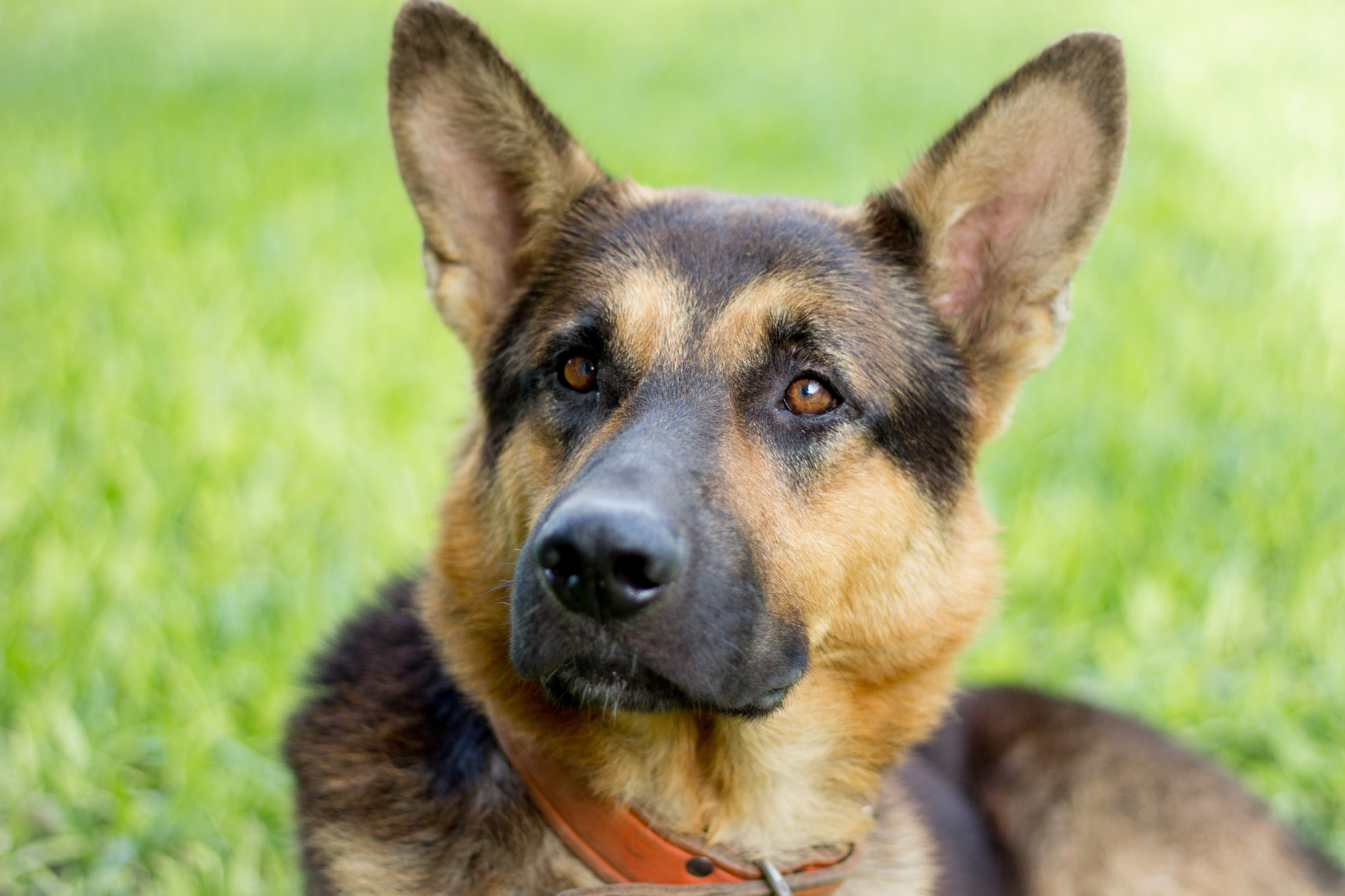 How to Tell a Purebred German Shepherd | Cuteness