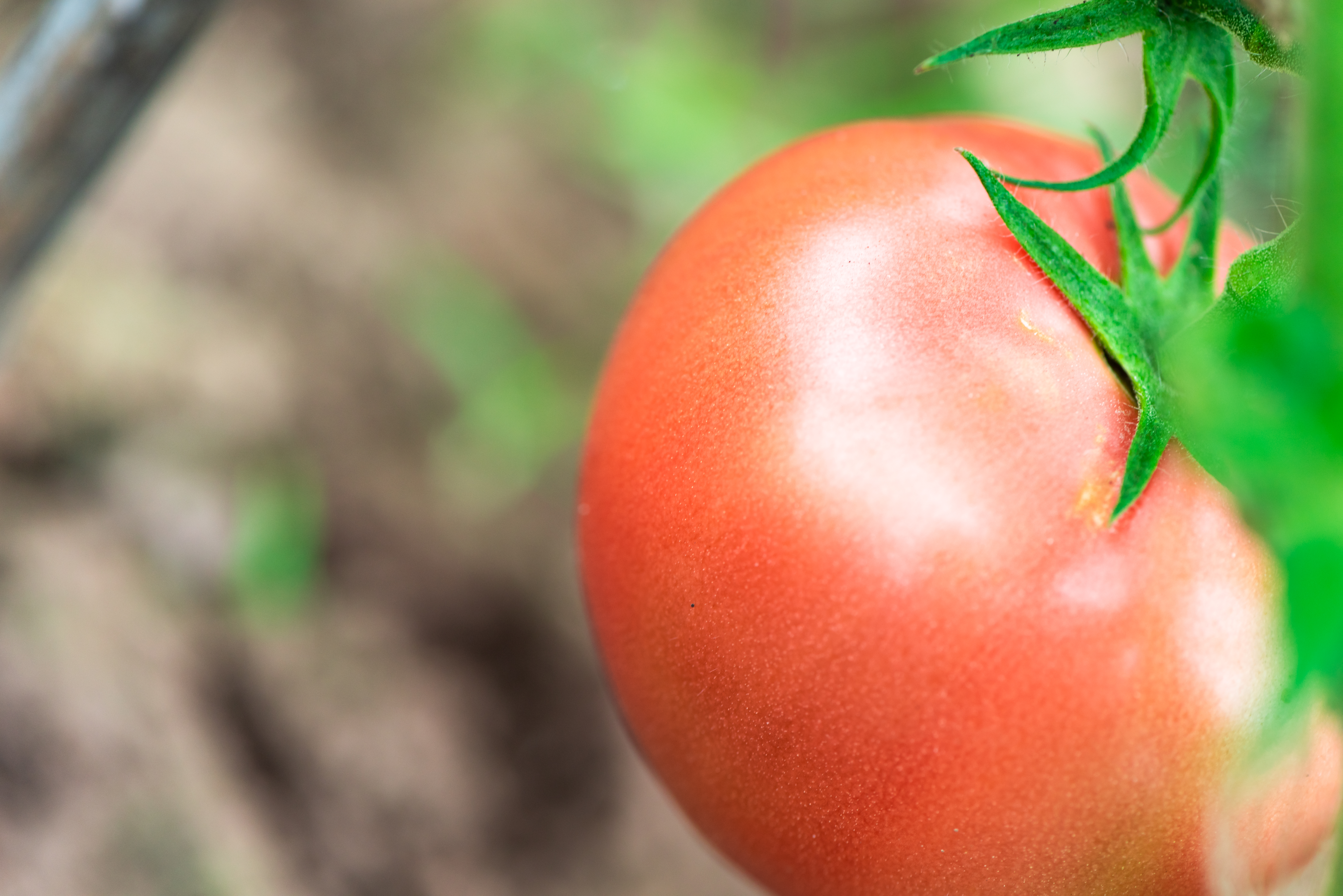 How to Keep Rats Off of Tomato Plants | Home Guides | SF Gate