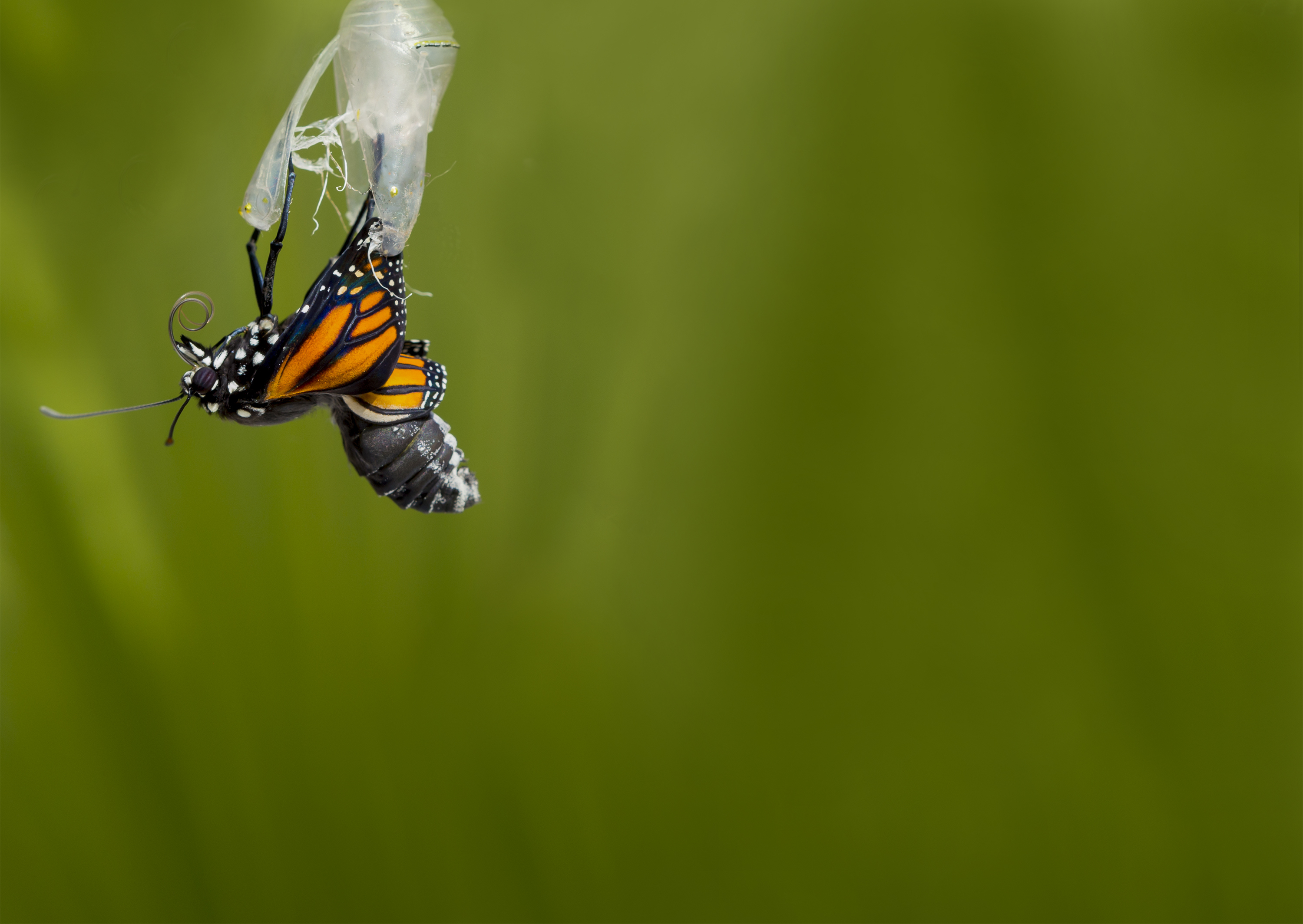 How To Help A Butterfly Out Of Cocoon