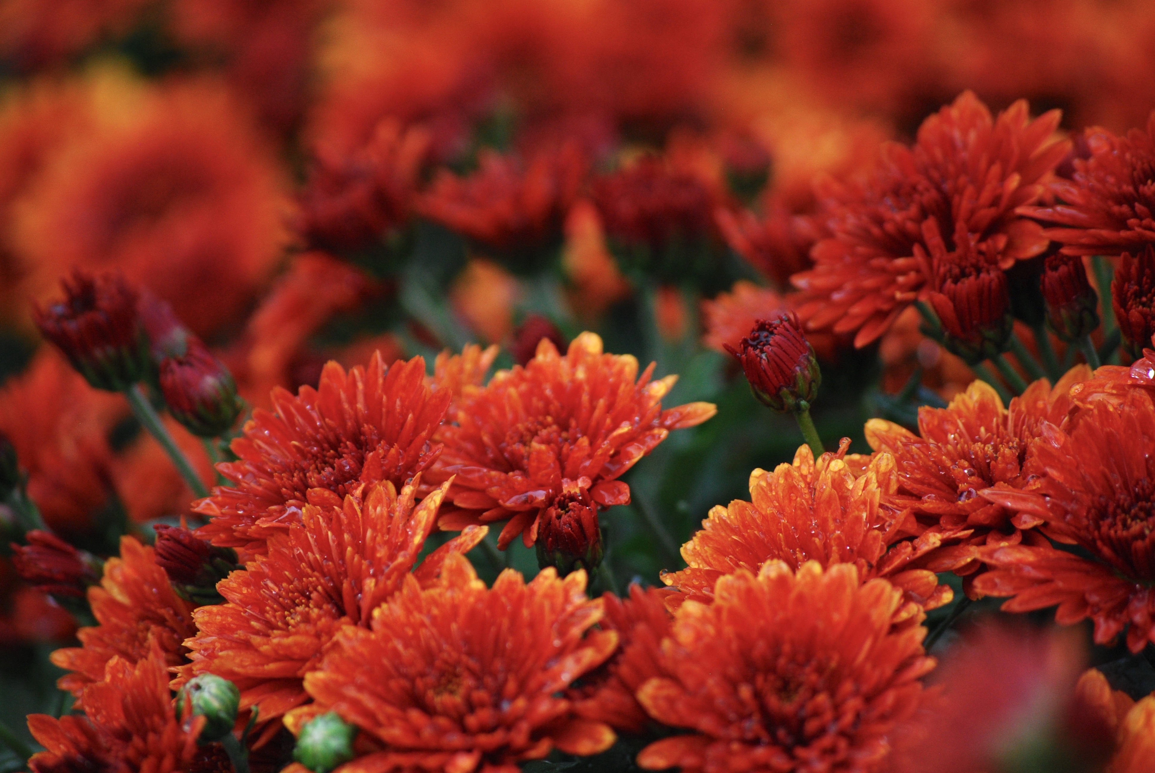 How To Overwinter Fall Mums Indoors Home Guides Sf Gate