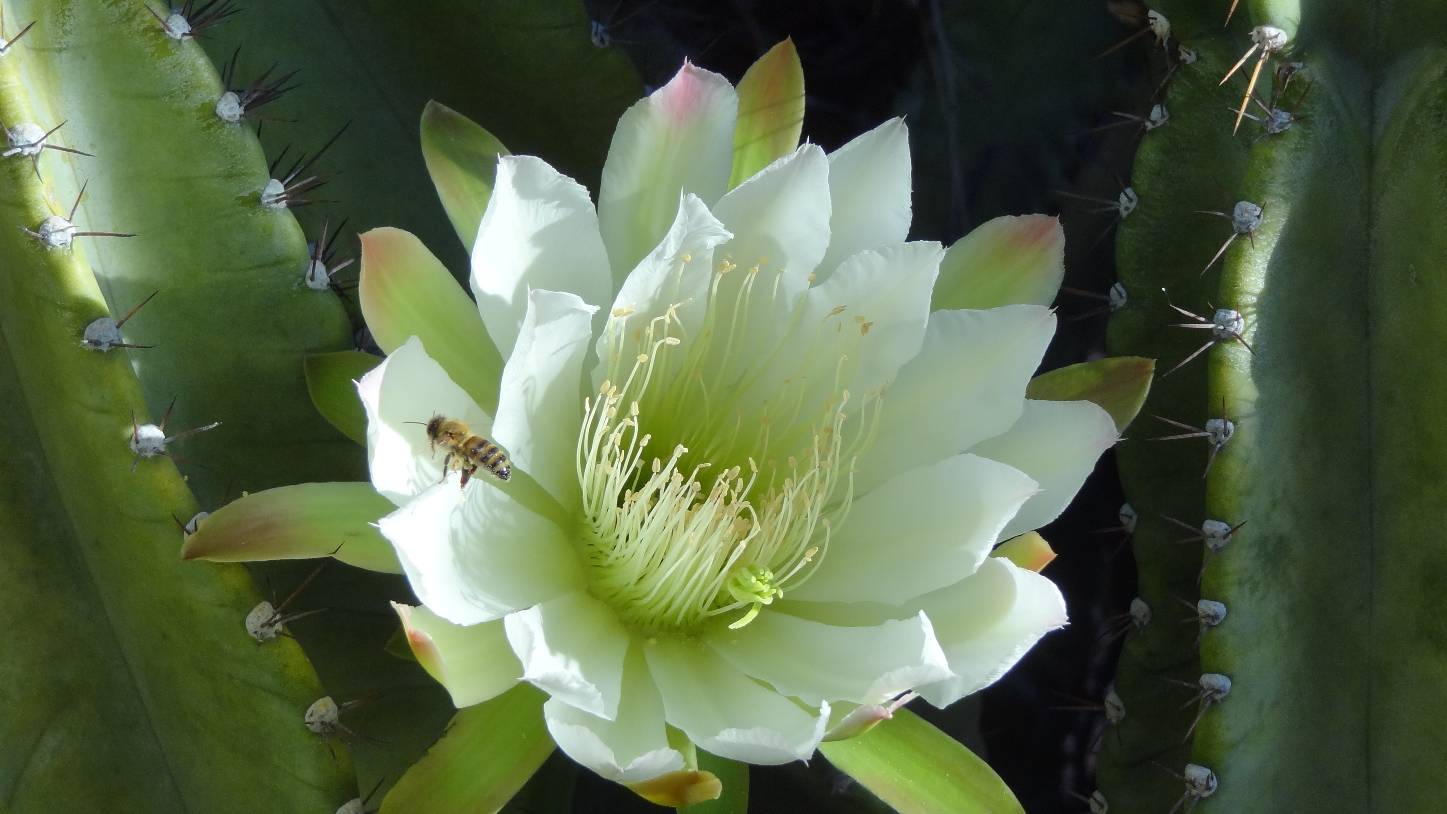 How To Take Care Of Night Blooming Cereus Home Guides Sf Gate