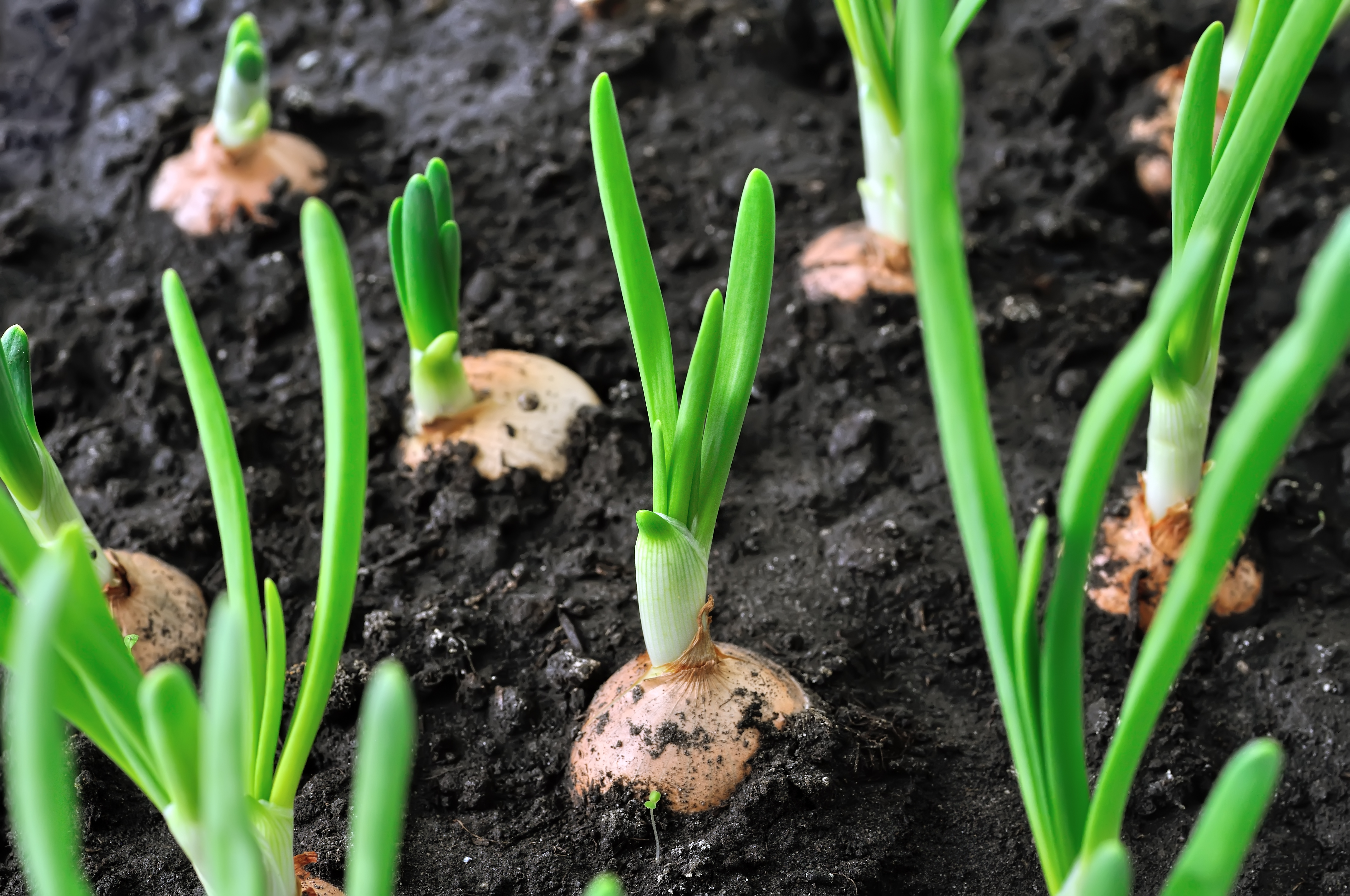 Matchless how to onion starts form mature onions