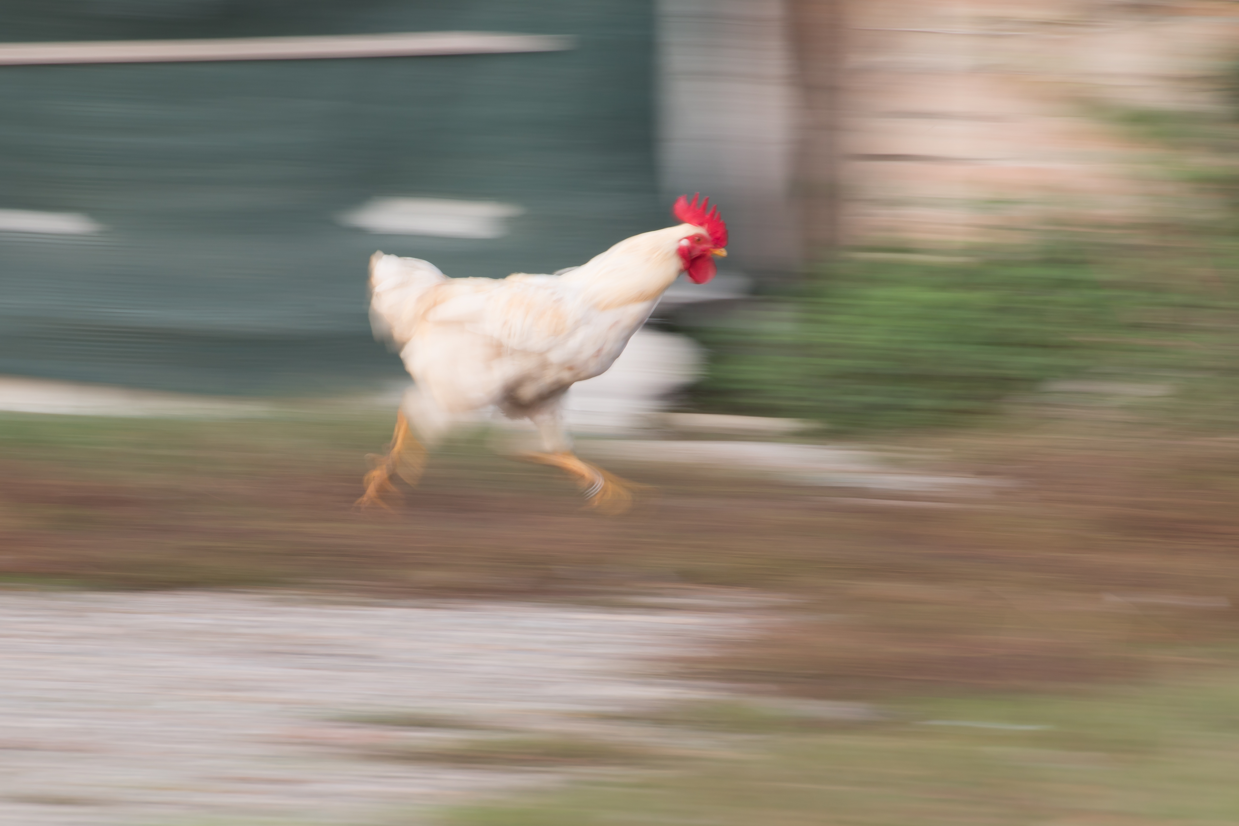 How Fast Does A Chicken Run Animals Mom Com