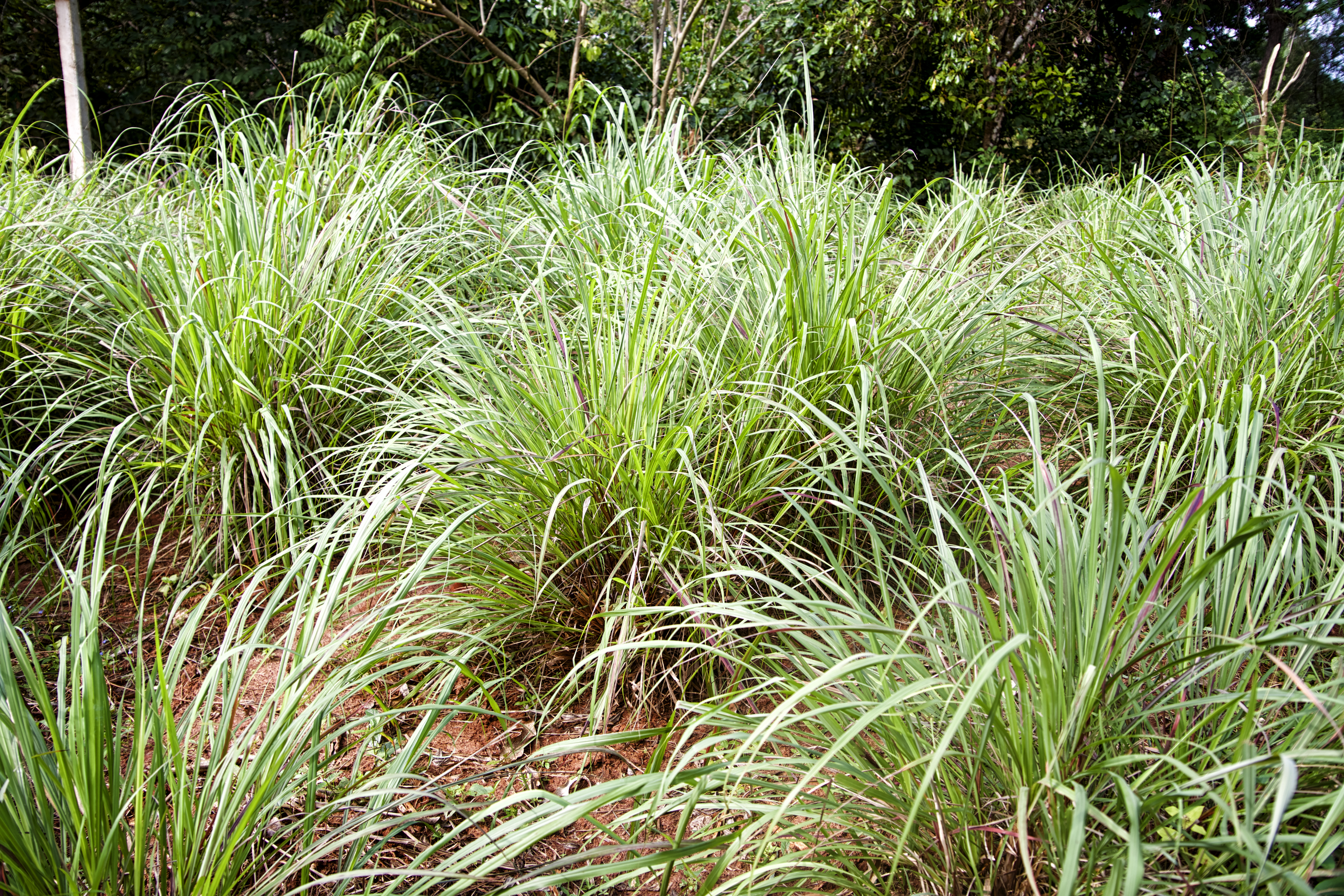 Is A Citronella Plant A Perennial Home Guides Sf Gate