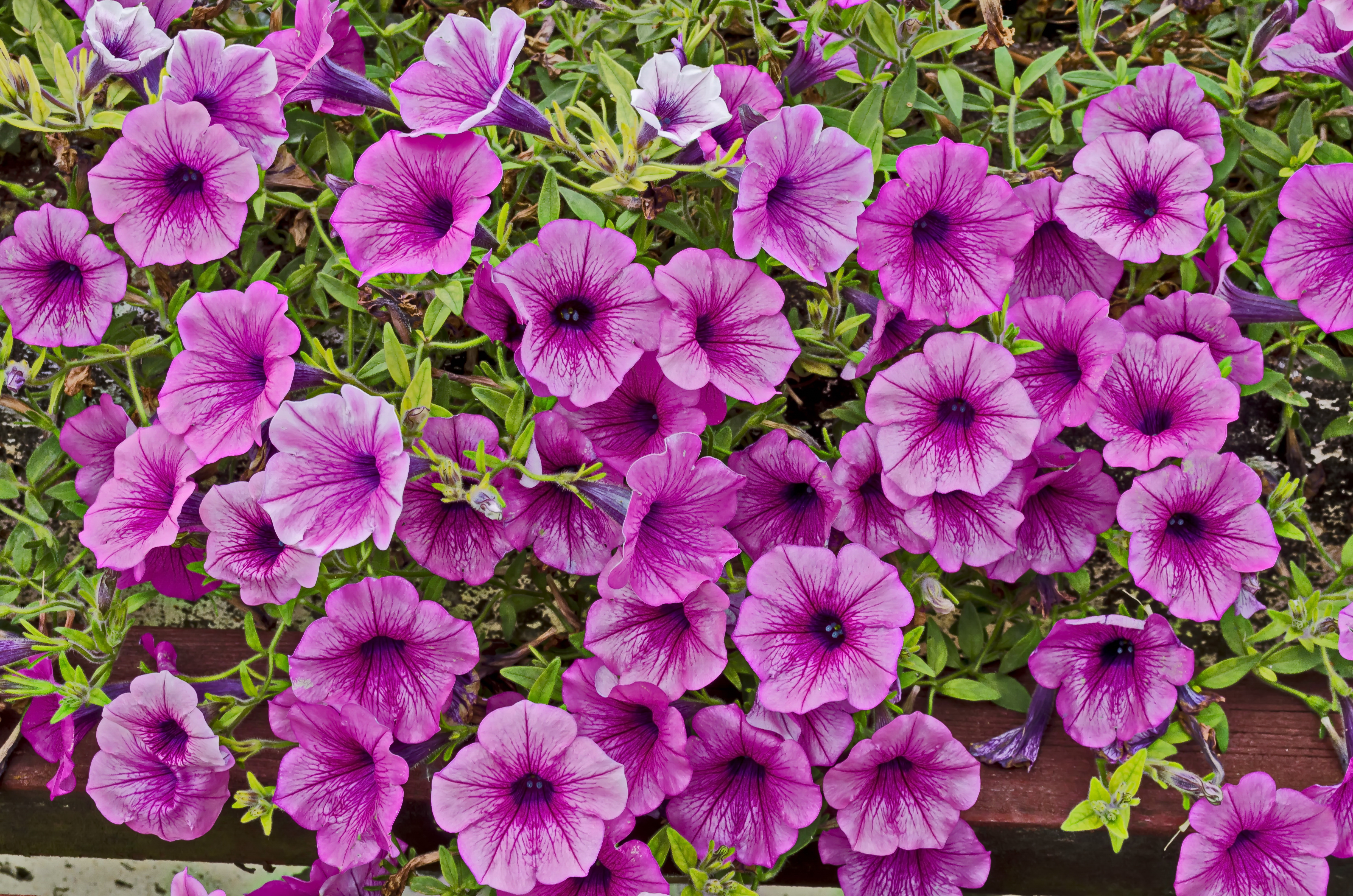 How To Save A Wave Petunia In A Hanging Basket That Is Getting