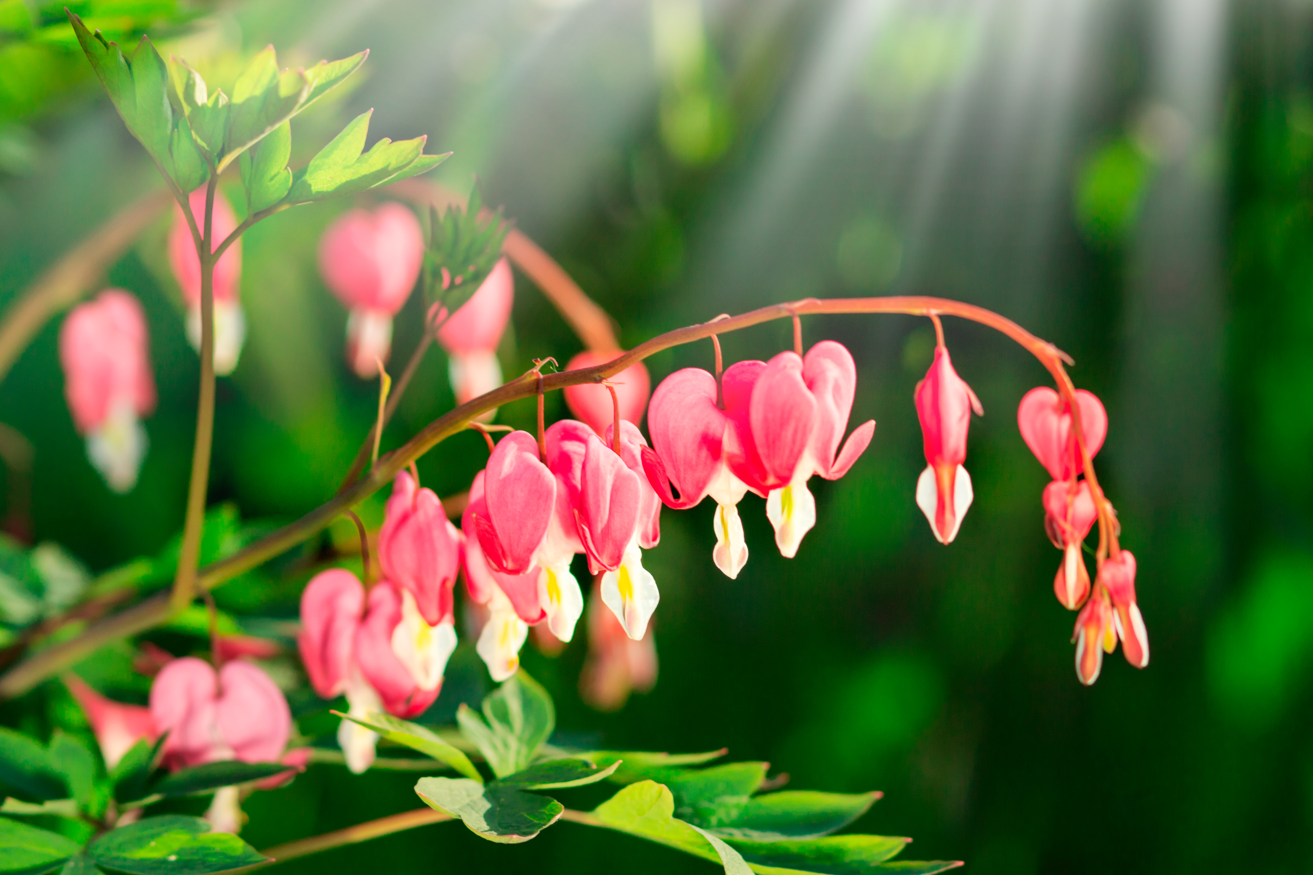 Life Cycle of the Bleeding Heart Plant | Home Guides | SF Gate