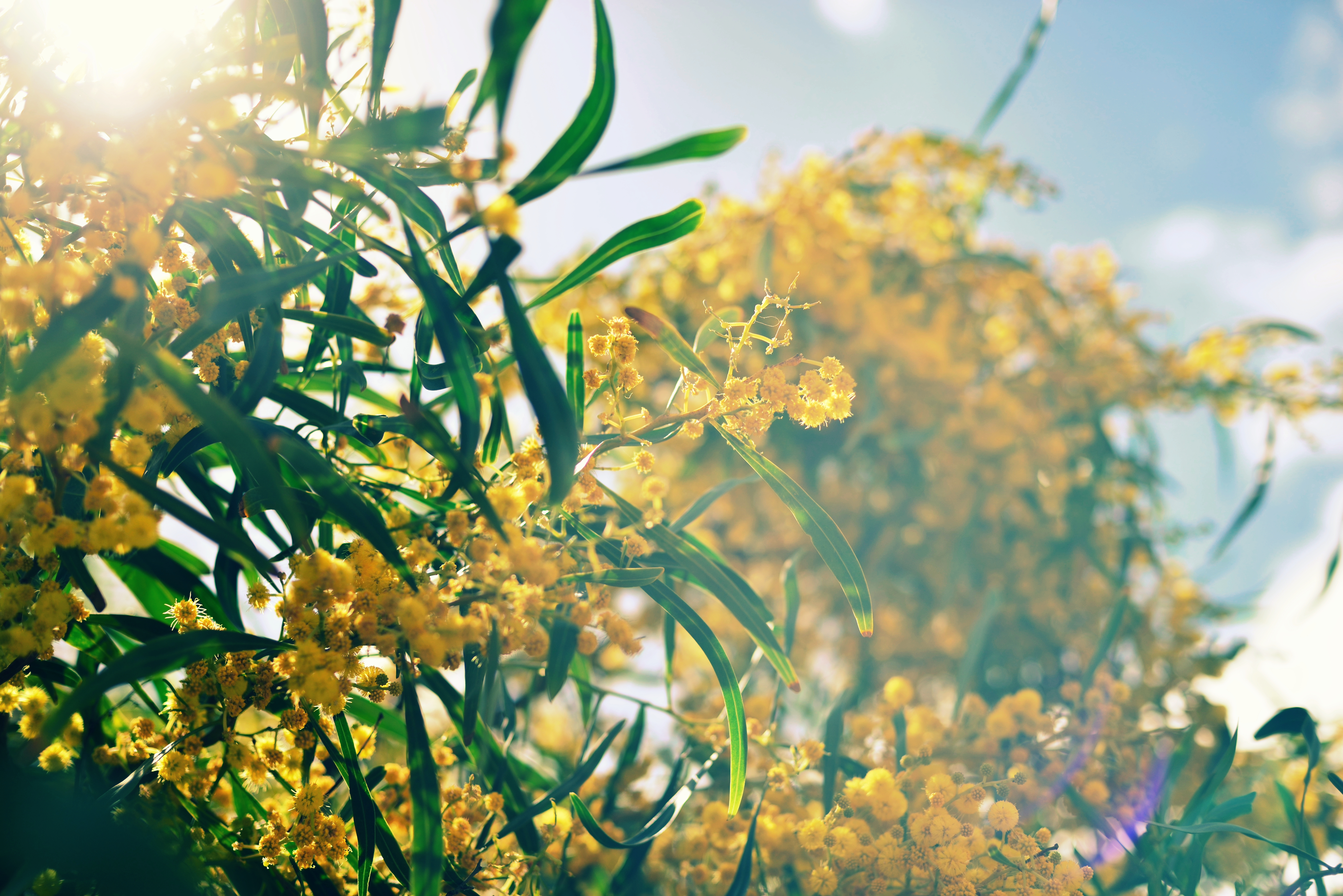 How to Grow a Mimosa Tree From a Seed | Home Guides | SF Gate