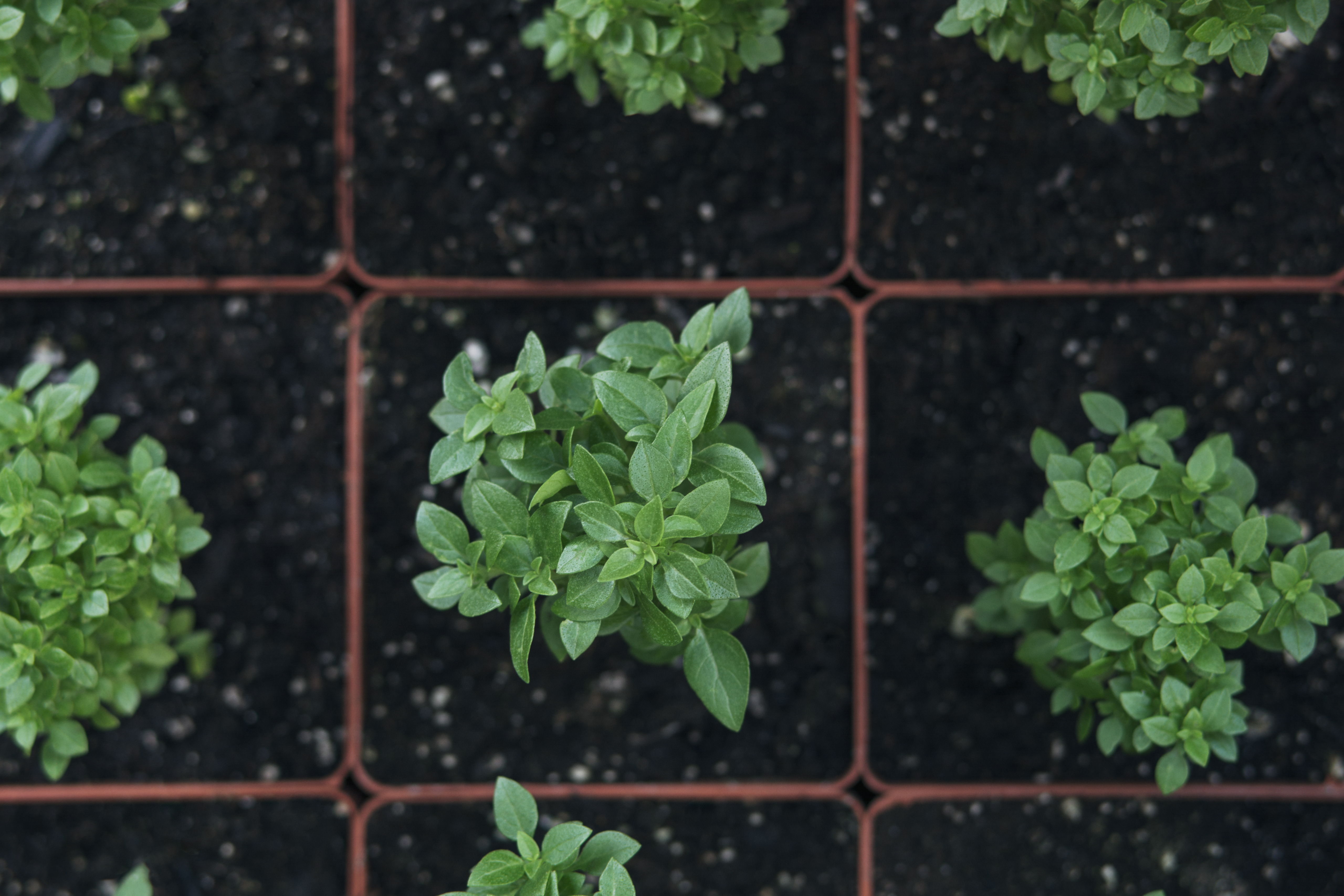 How to Cure Overwatered Basil | Home Guides | SF Gate