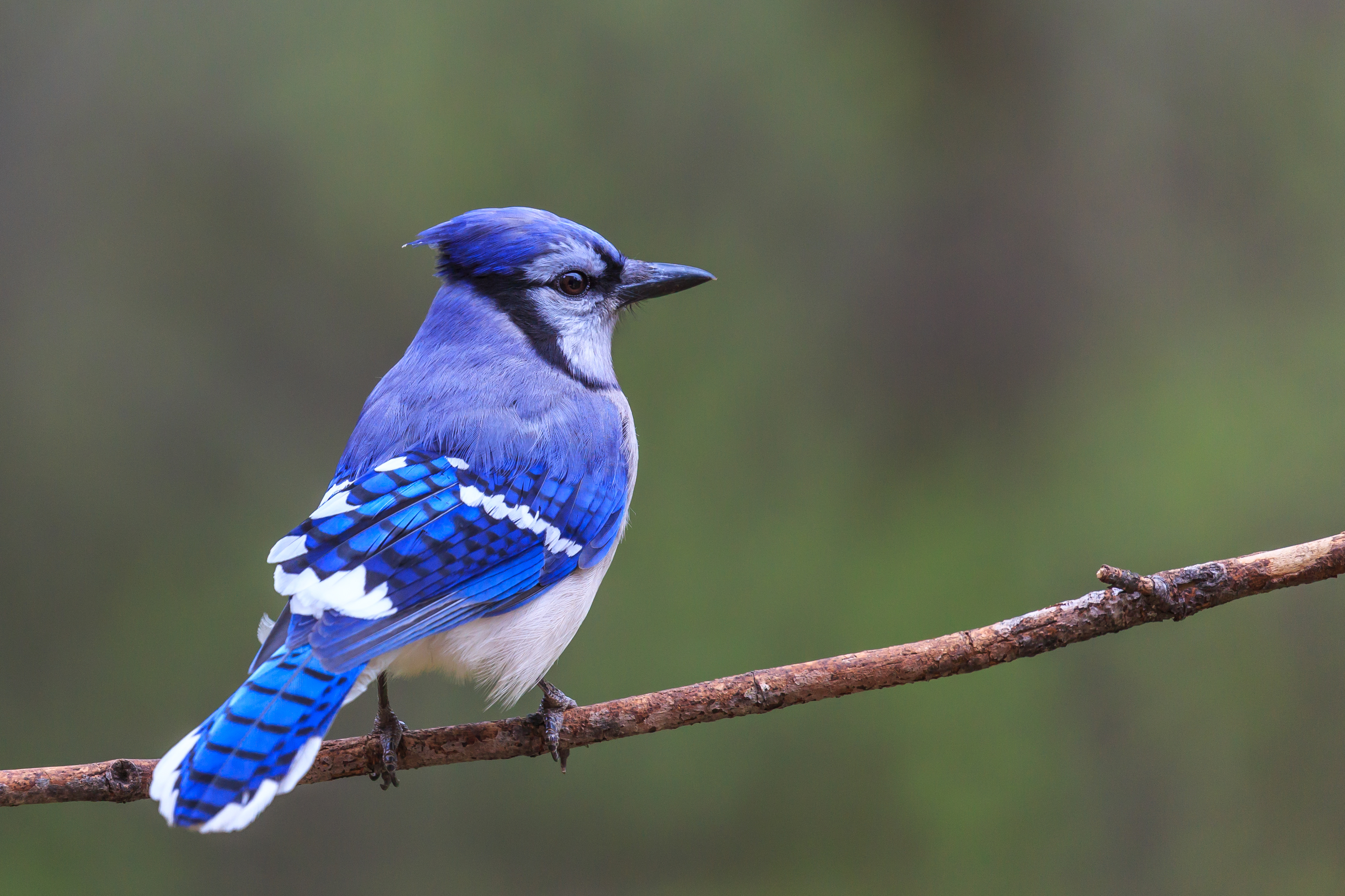 How to Tell a Male From a Female Blue Jay  ba43a6bd798