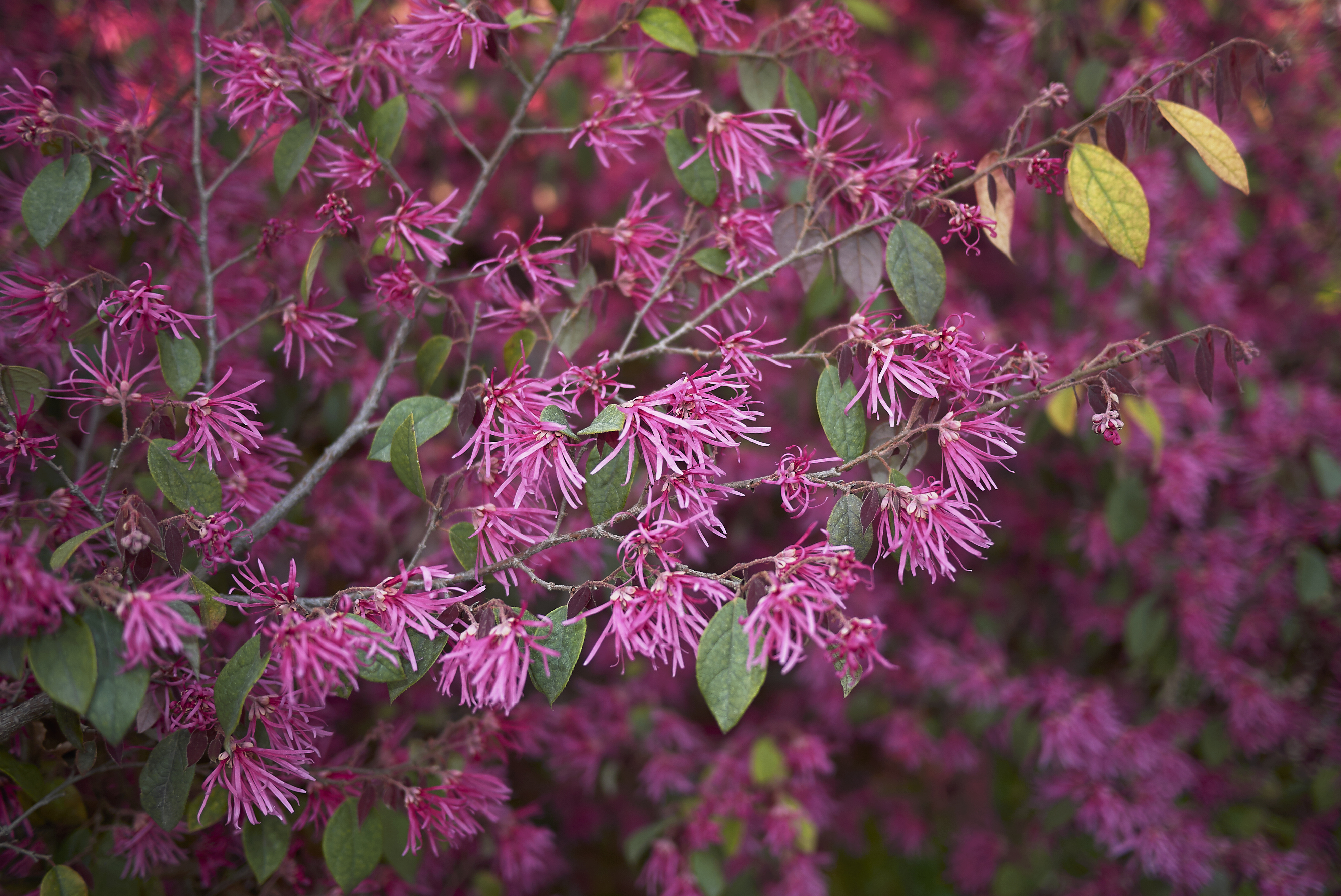 How To Care For Loropetalum Plants Hunker