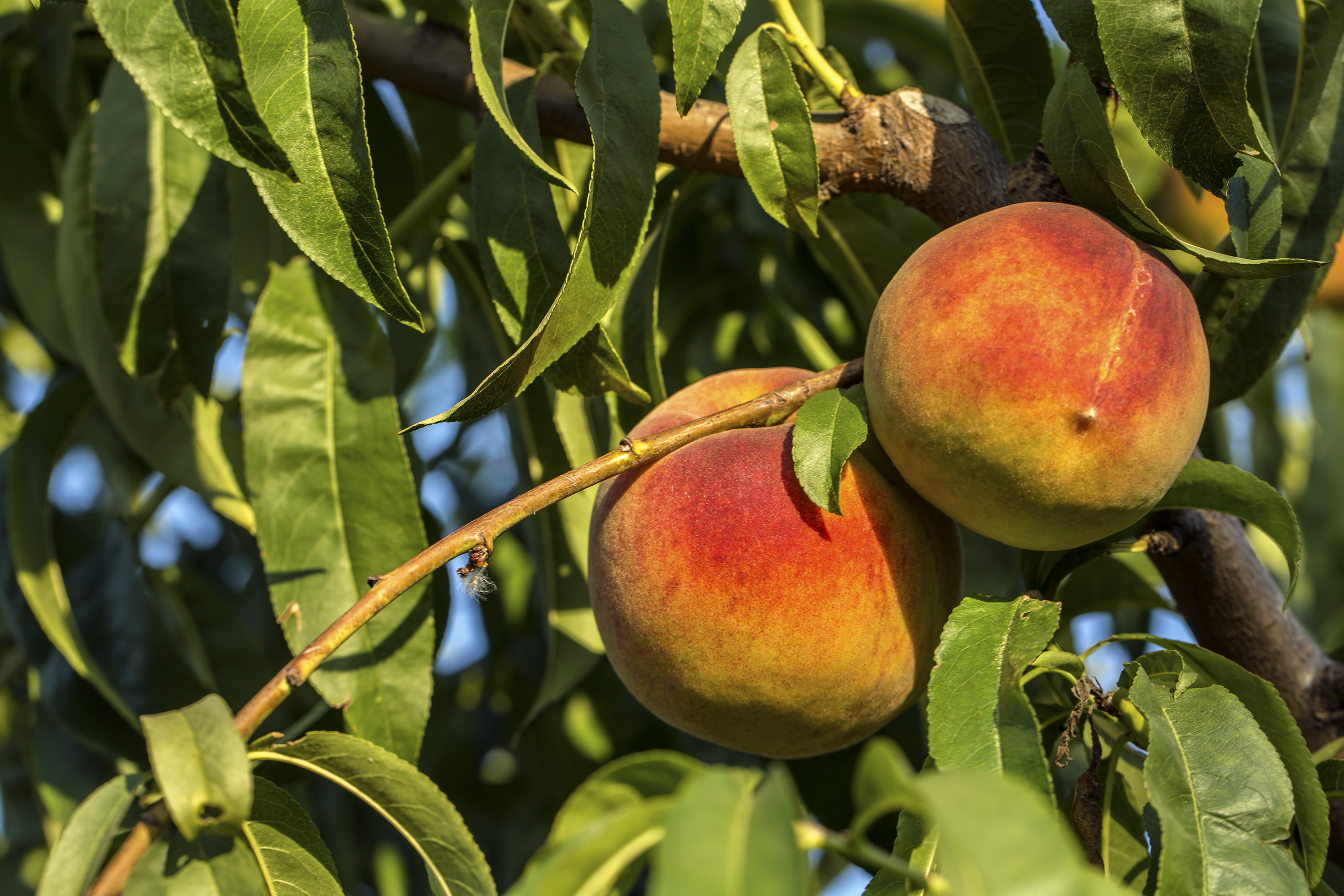 How to Keep Varmints From Eating Peaches Off Trees | Home