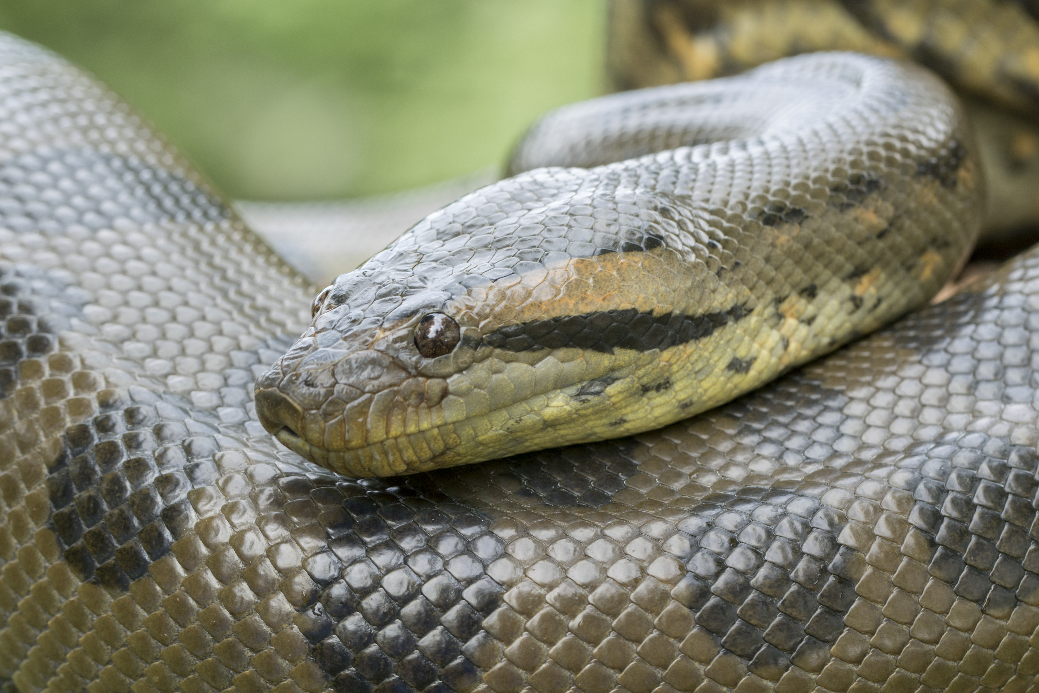 Differences Between A Boa Python Anaconda
