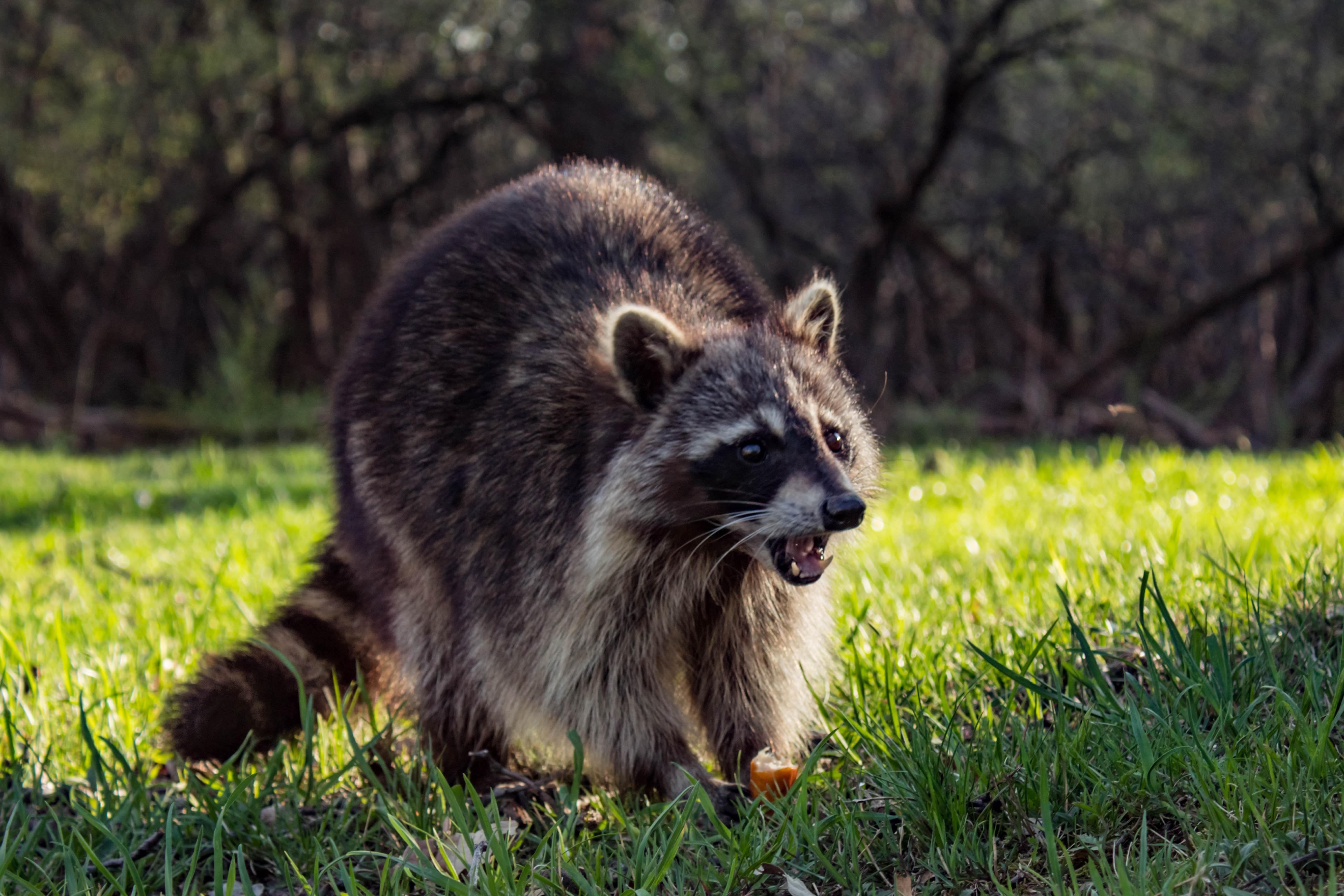 What Plants Do Raccoons Not Like? | Home Guides | SF Gate