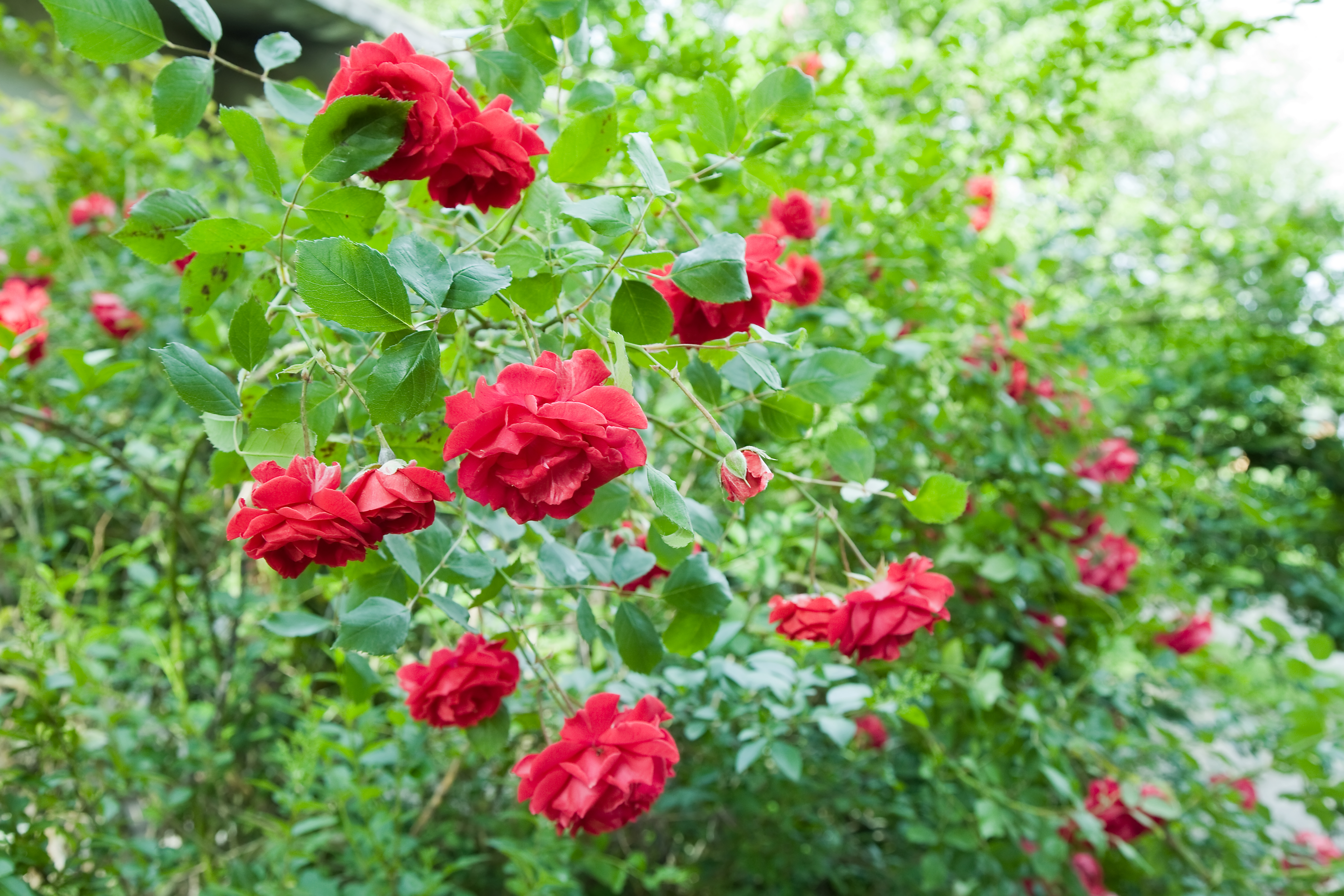 How to Get Rid of Powdery Mildew on Rose Bushes | Home