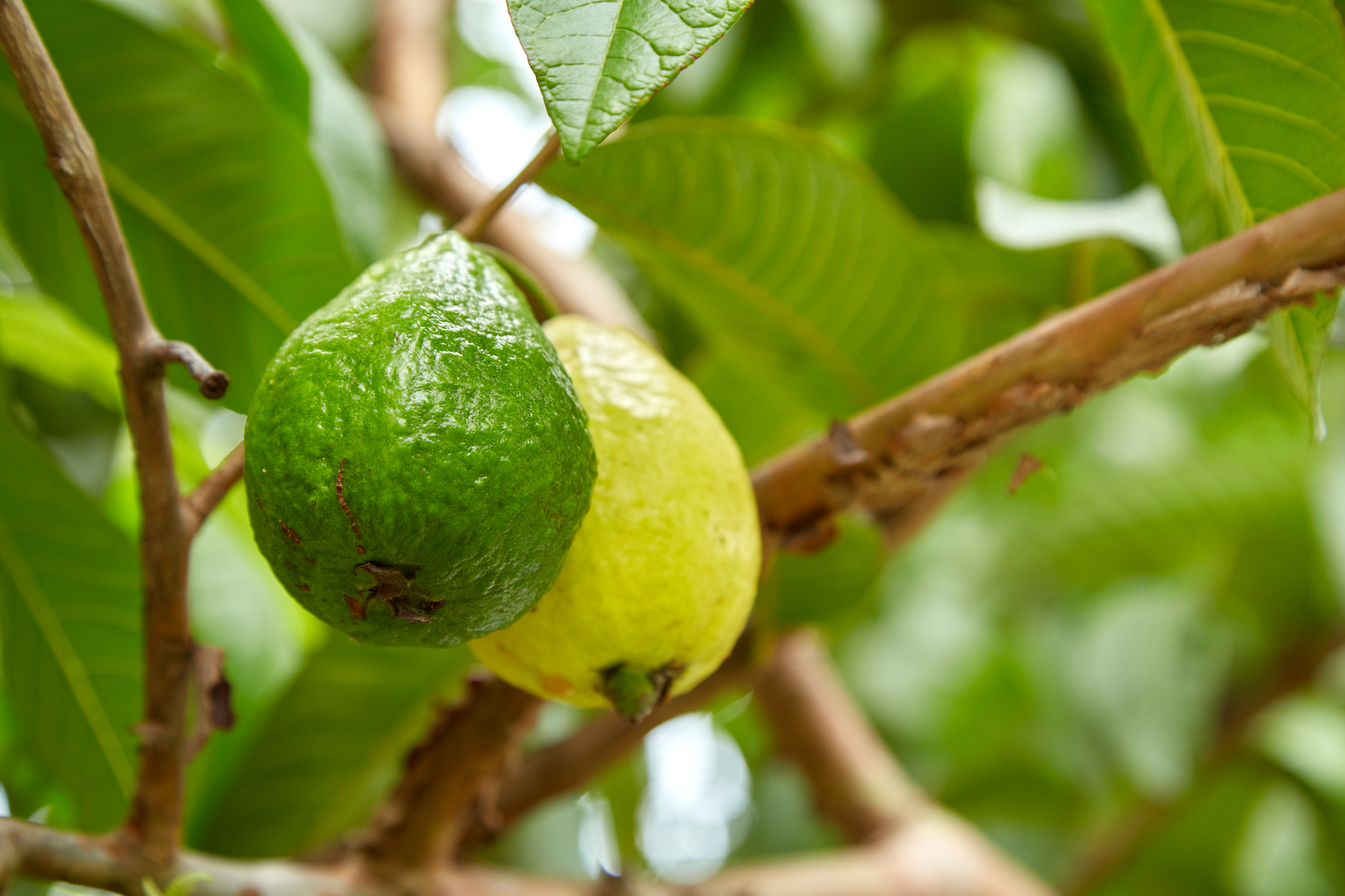 fc7713d6d How Long to Harvest Guavas? | Home Guides | SF Gate