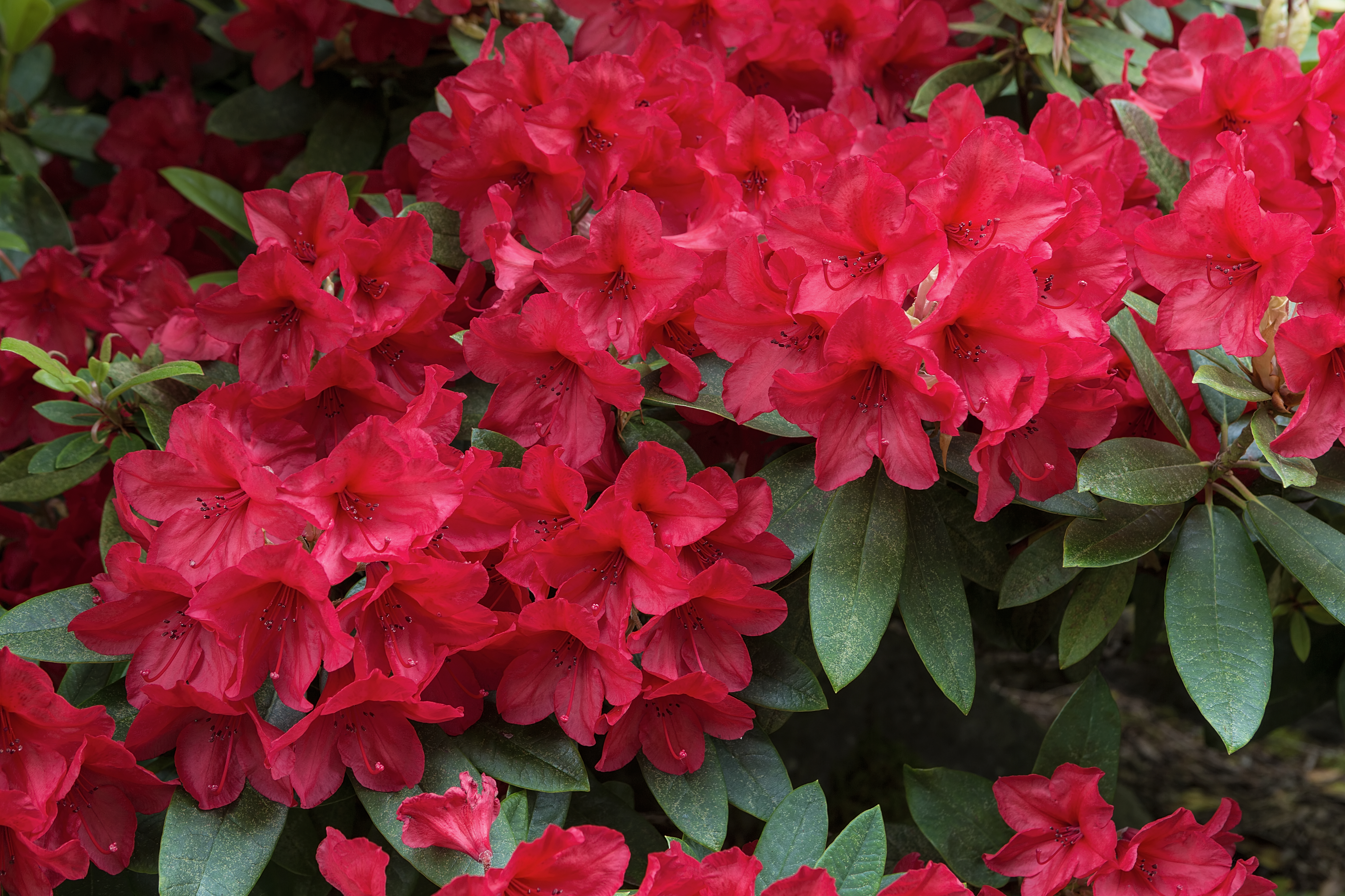 How Much Shade Can Rhododendrons Tolerate Home Guides Sf Gate