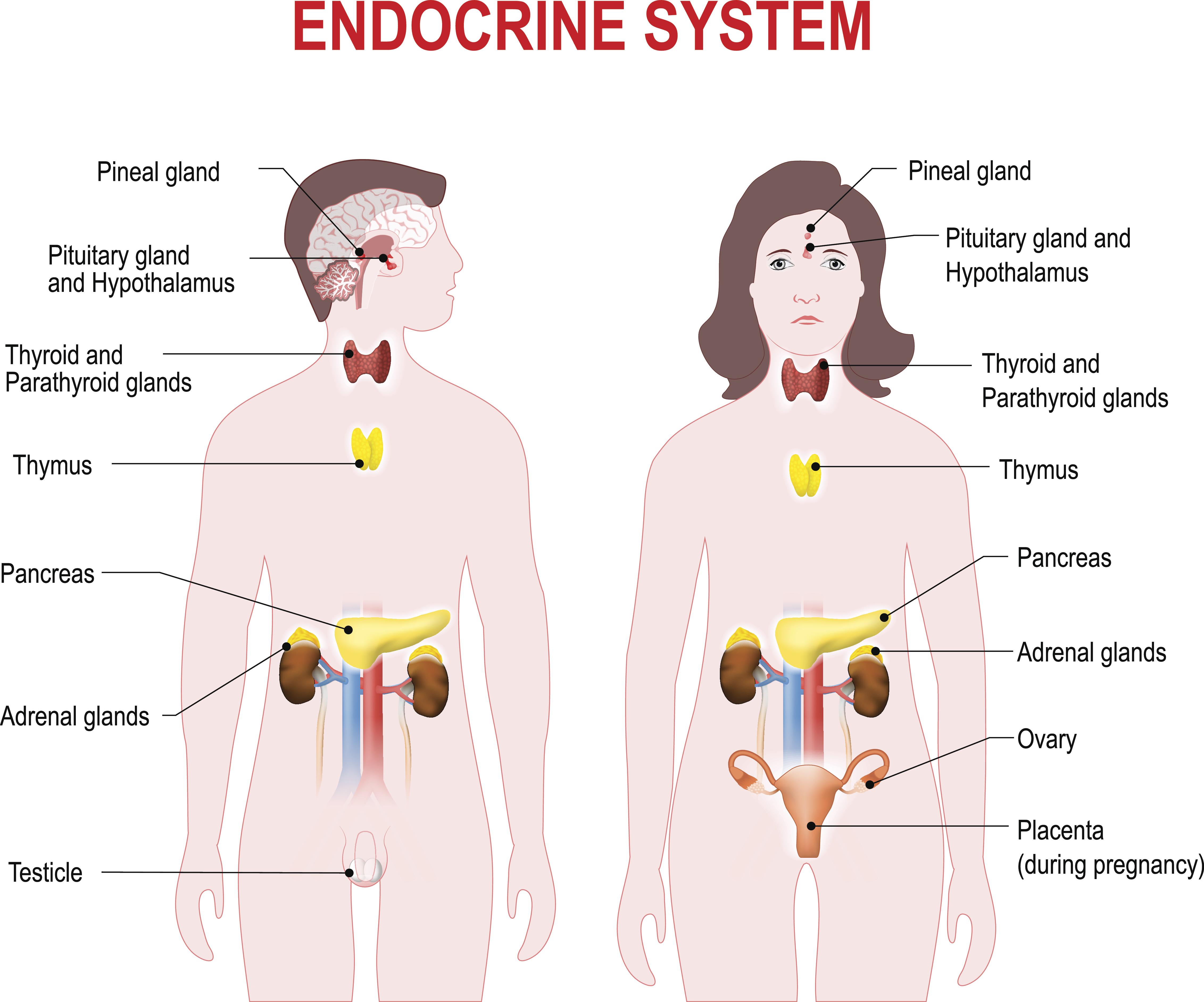 Cómo cuidar del sistema endocrino | Muy Fitness