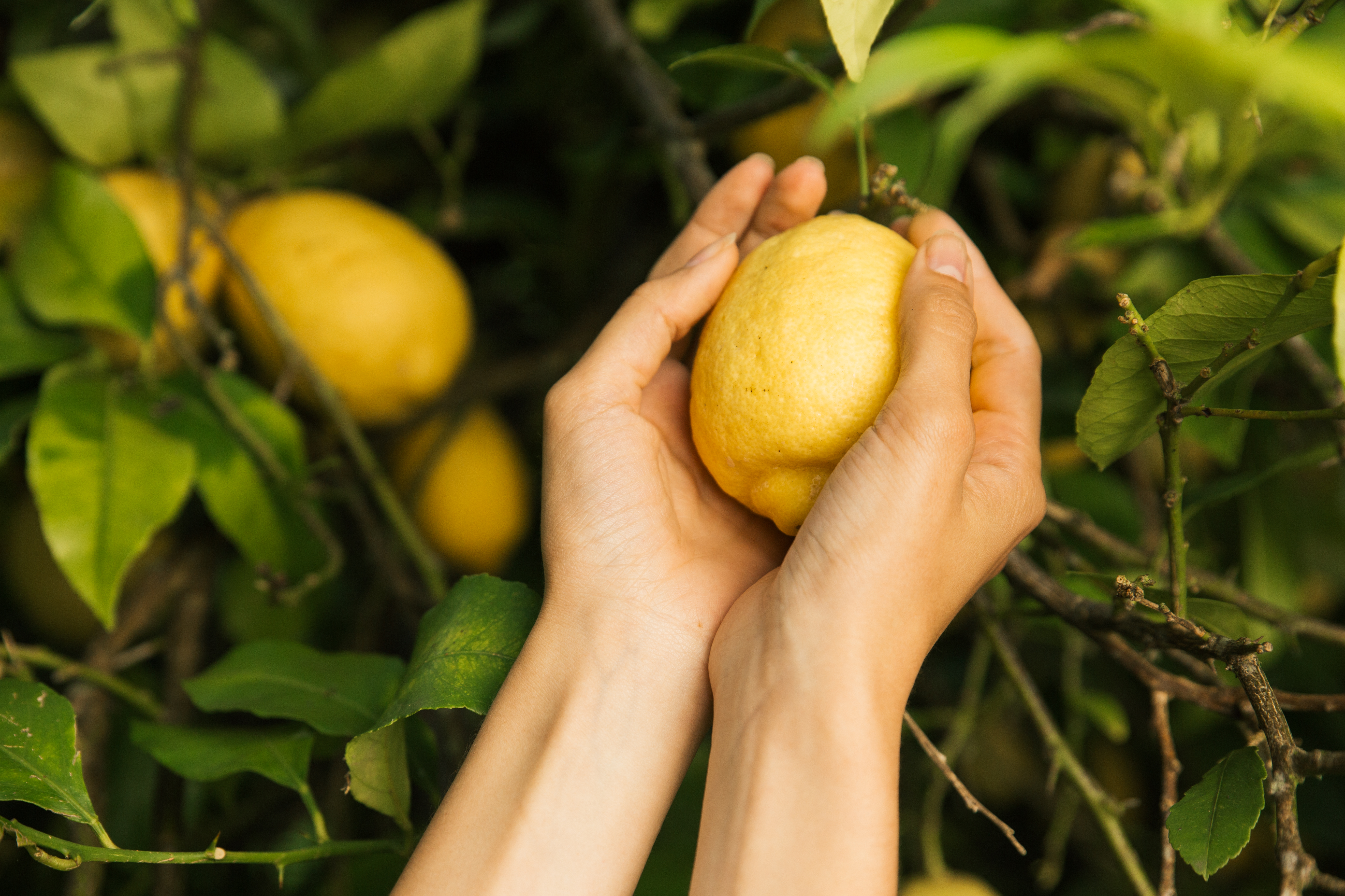Difference in Meyer & Eureka Lemon Trees | Home Guides | SF Gate