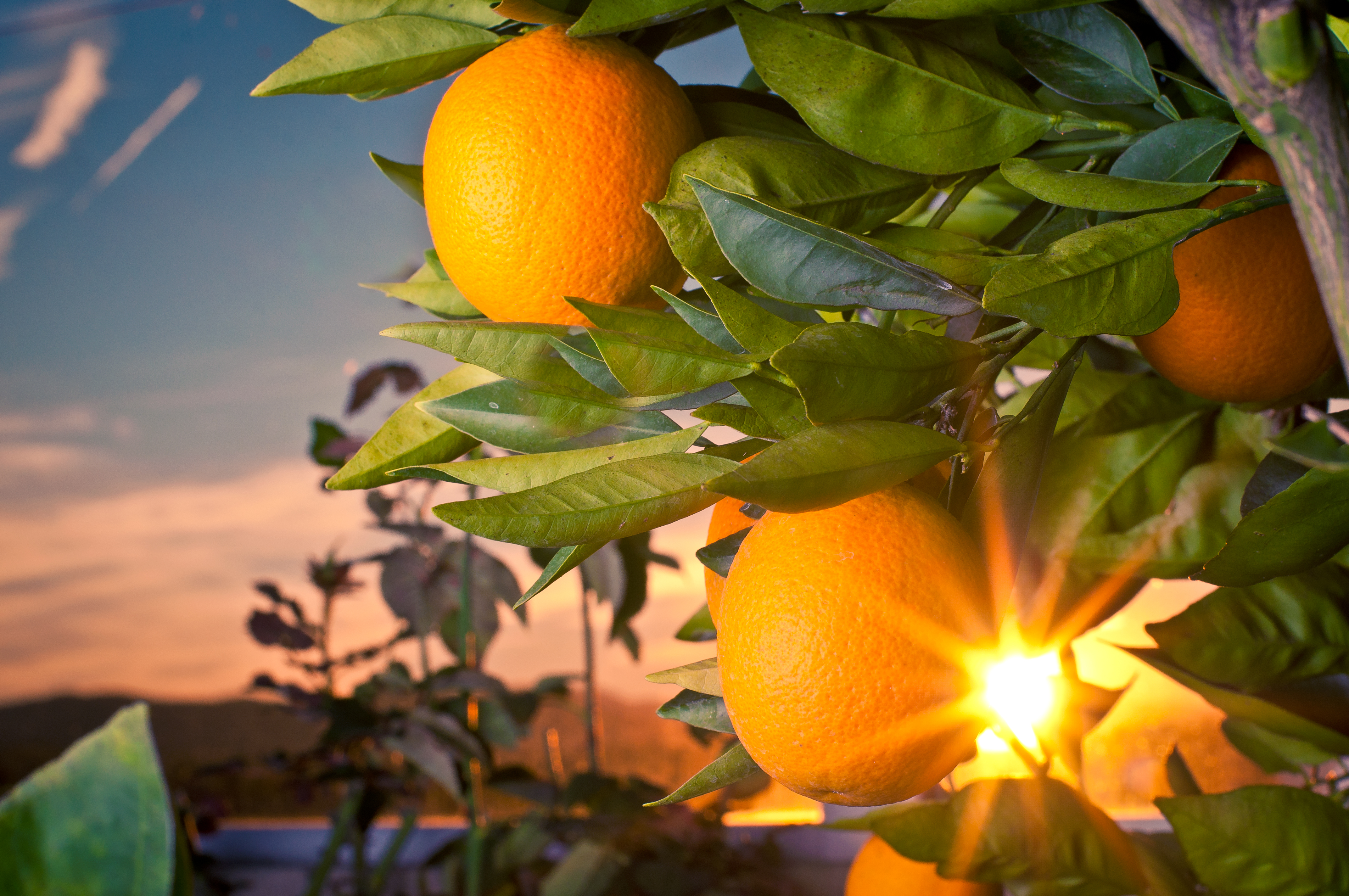 When Does an Orange Tree Bear Fruit? | Home Guides | SF GateHome Guides