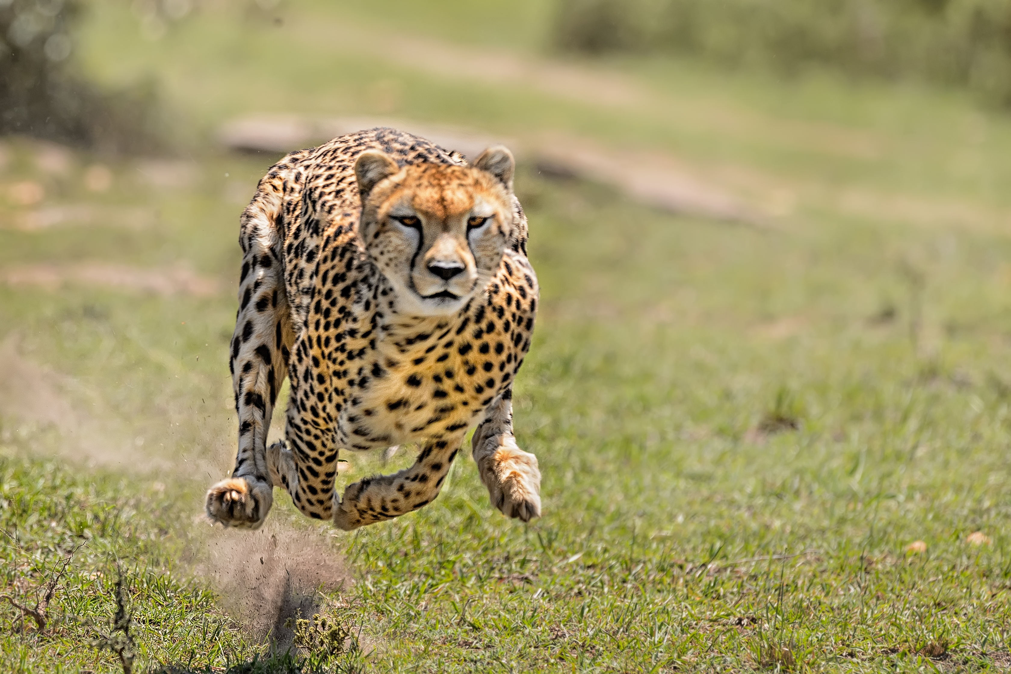 Where Do Cheetahs Live >> What Kind Of Environment Does A Cheetah Live In Sciencing