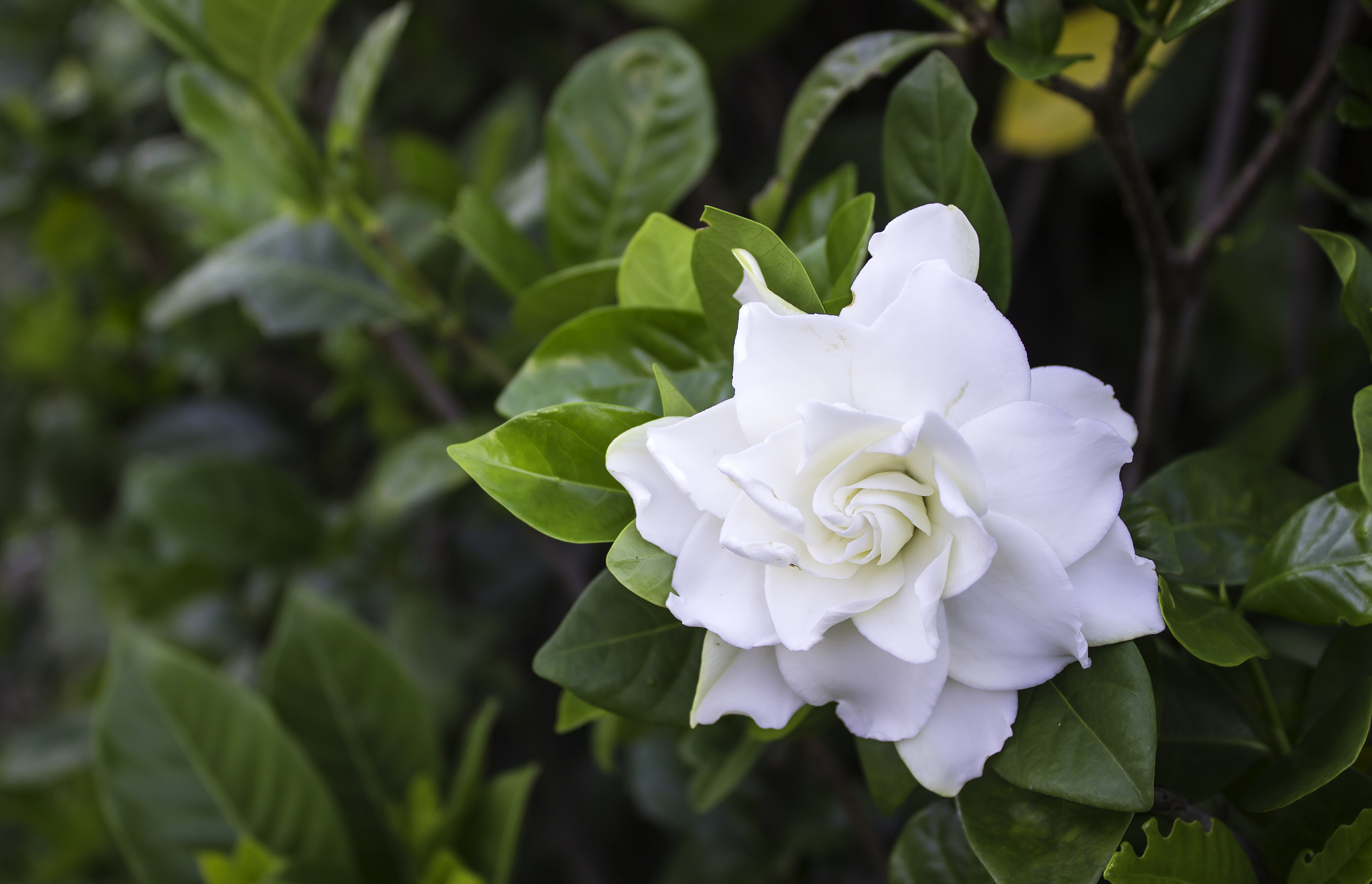 How Often Should You Water Gardenia Home Guides Sf Gate