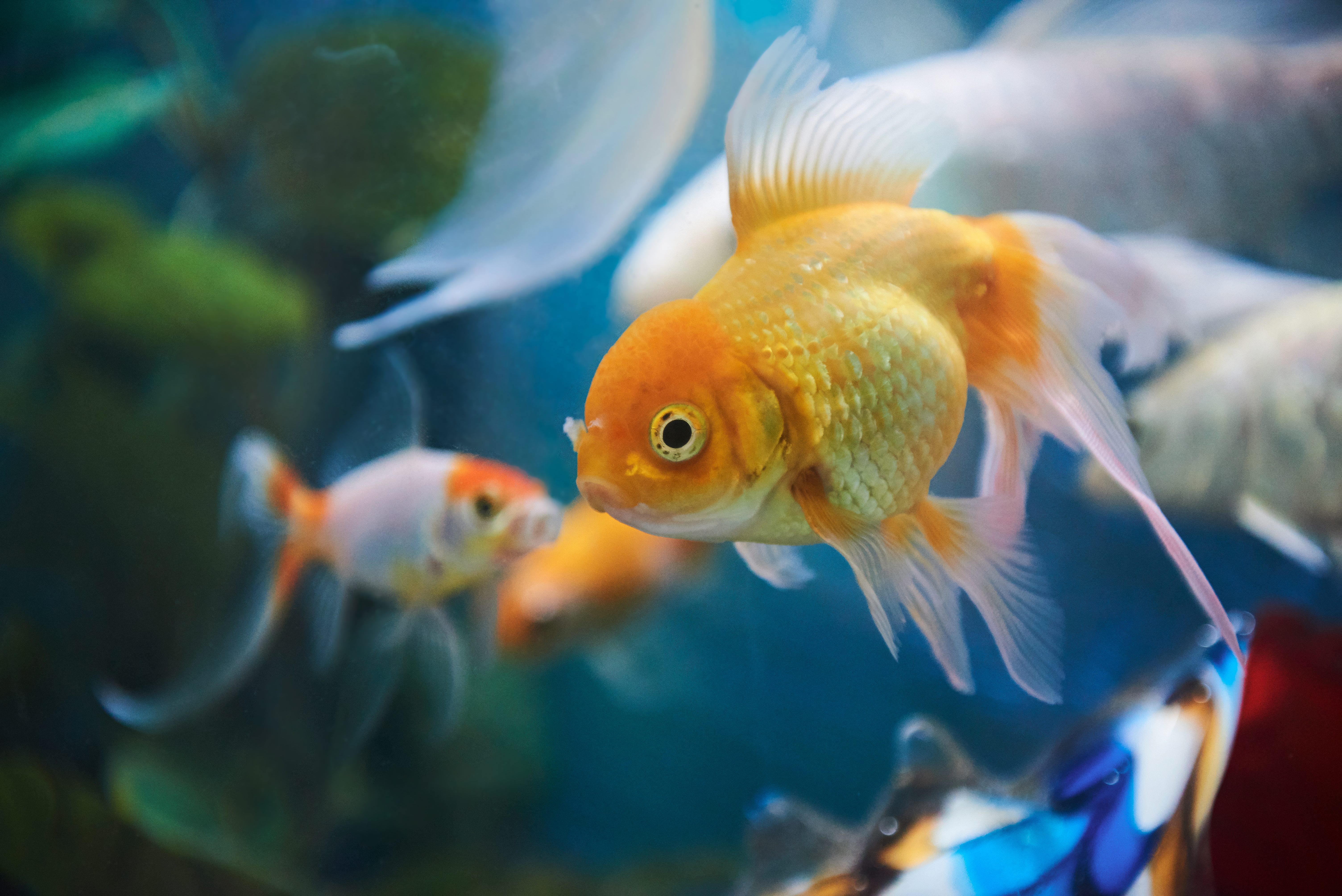 List of Foods Goldfish Can Eat | Cuteness