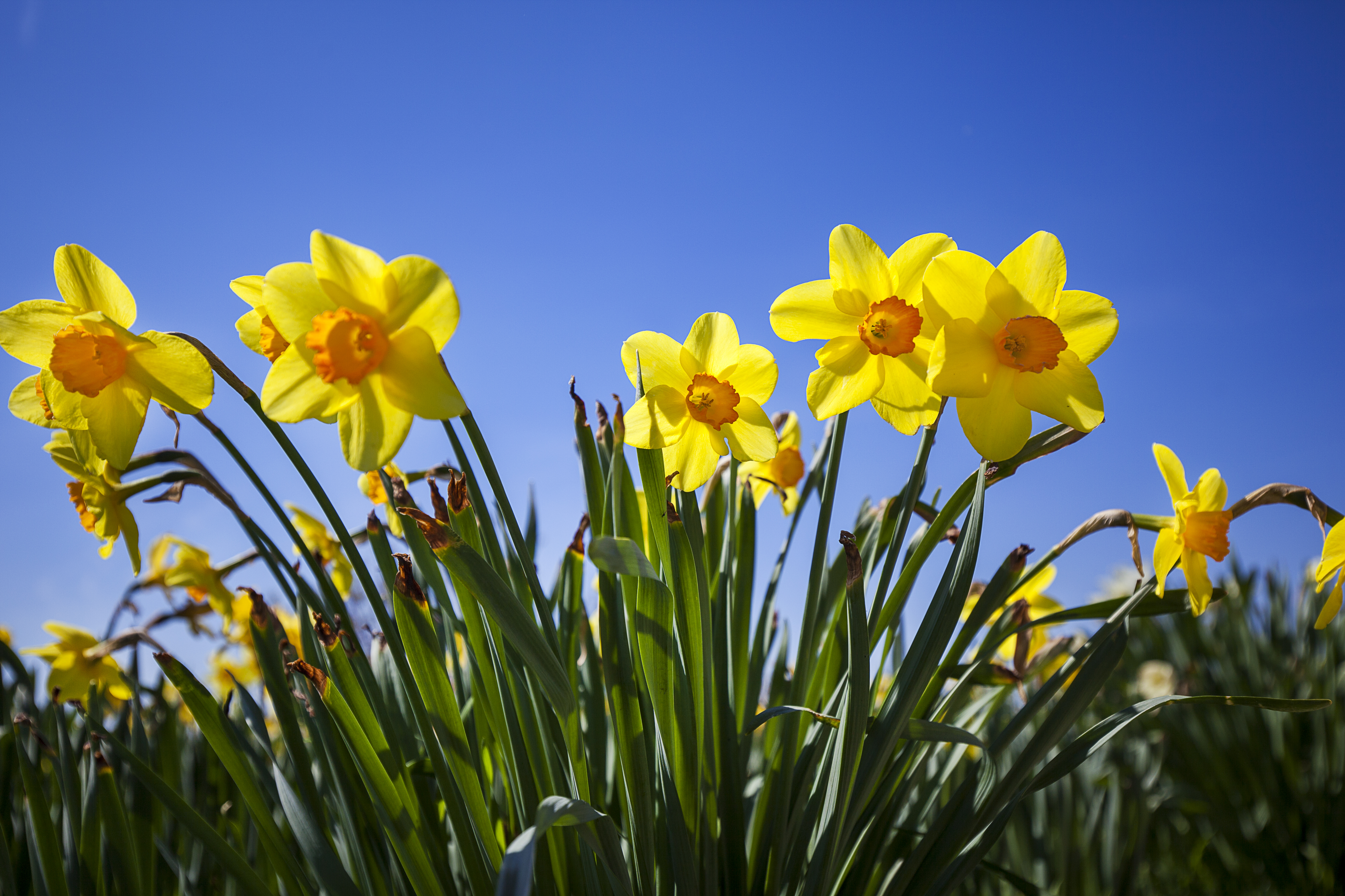 More Interesting Than Food Narcissus >> Can You Move Daffodils After They Flower Home Guides Sf Gate