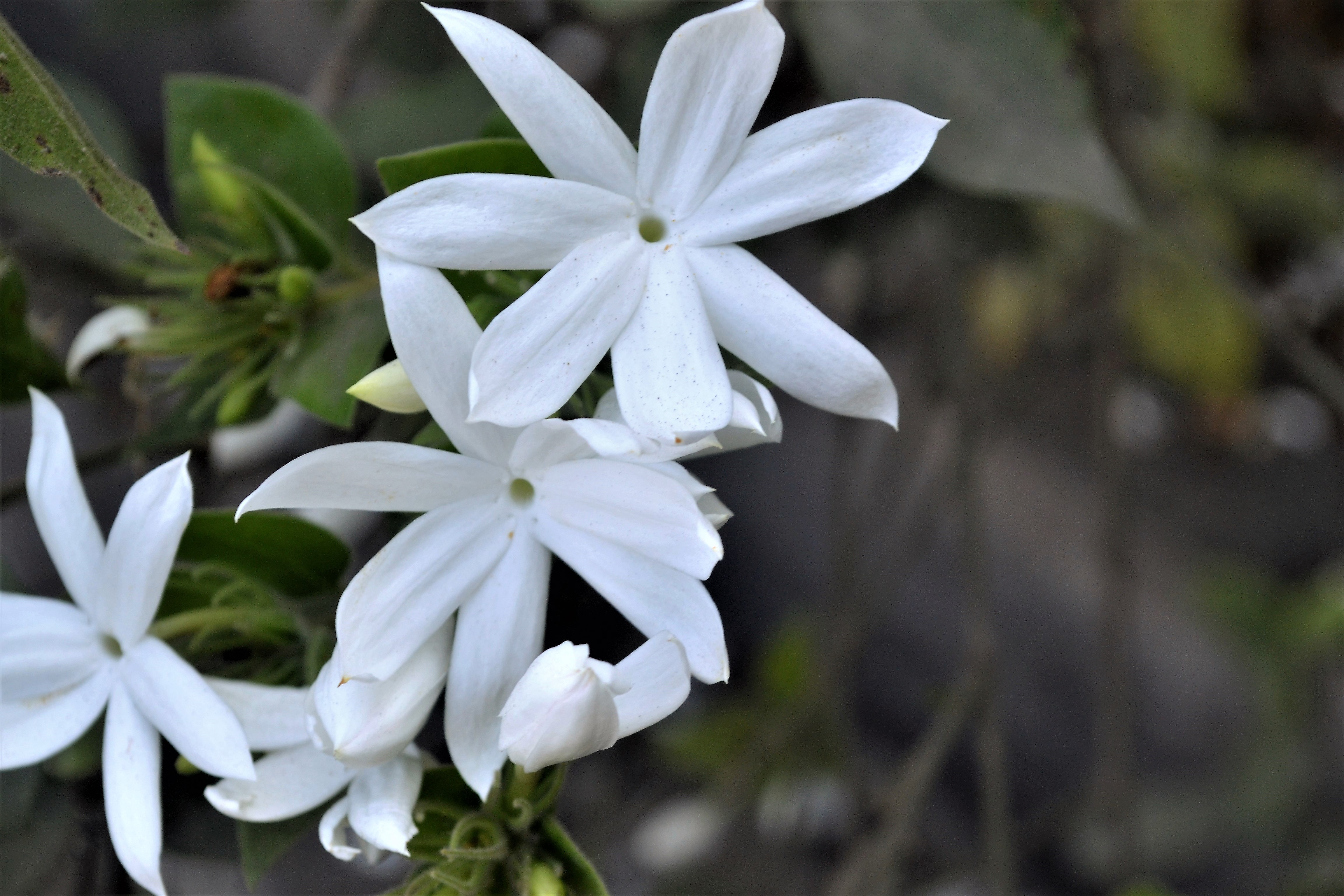 Night Blooming Jasmine Plant Care