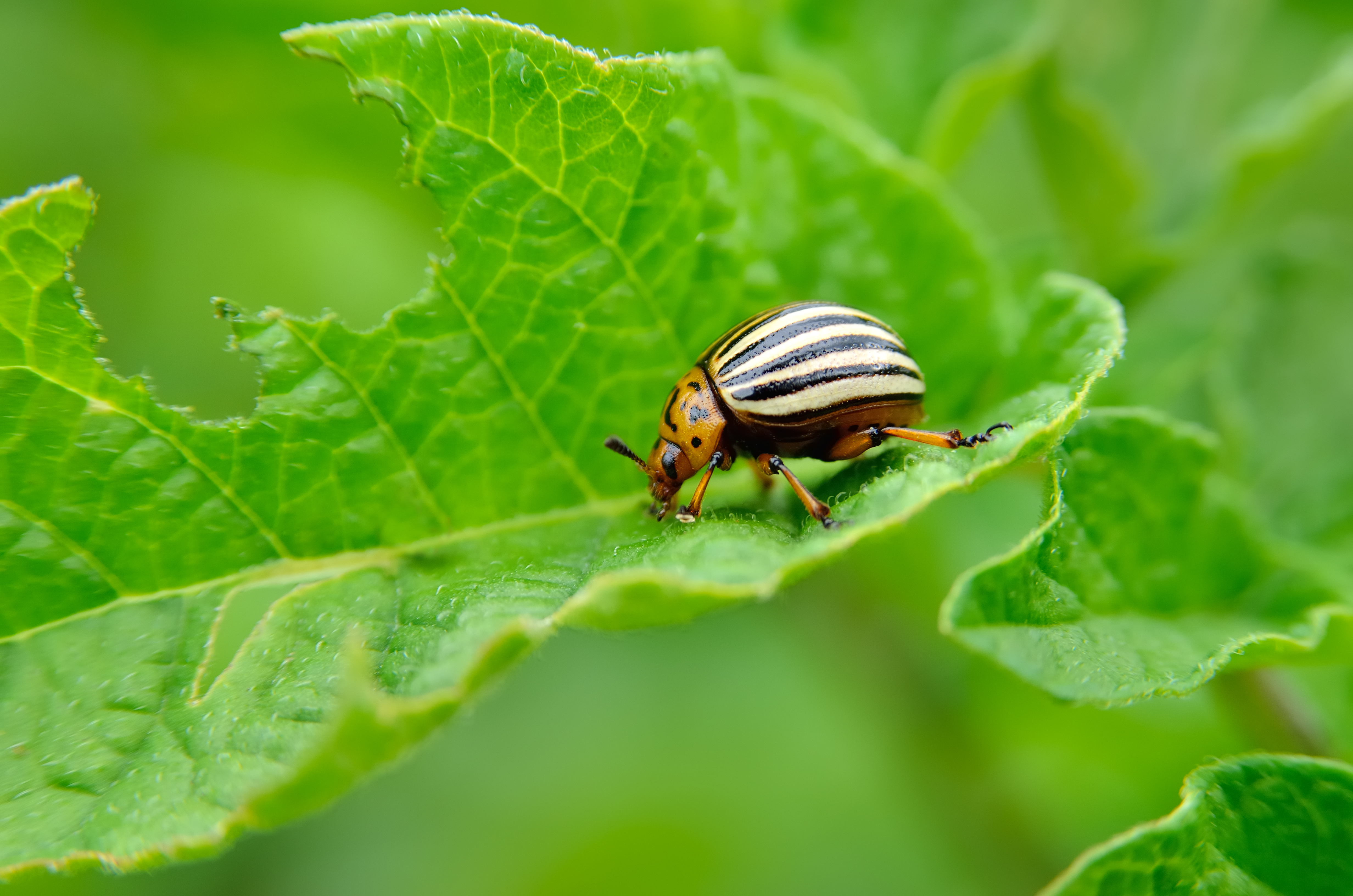What Are Potato Bugs?