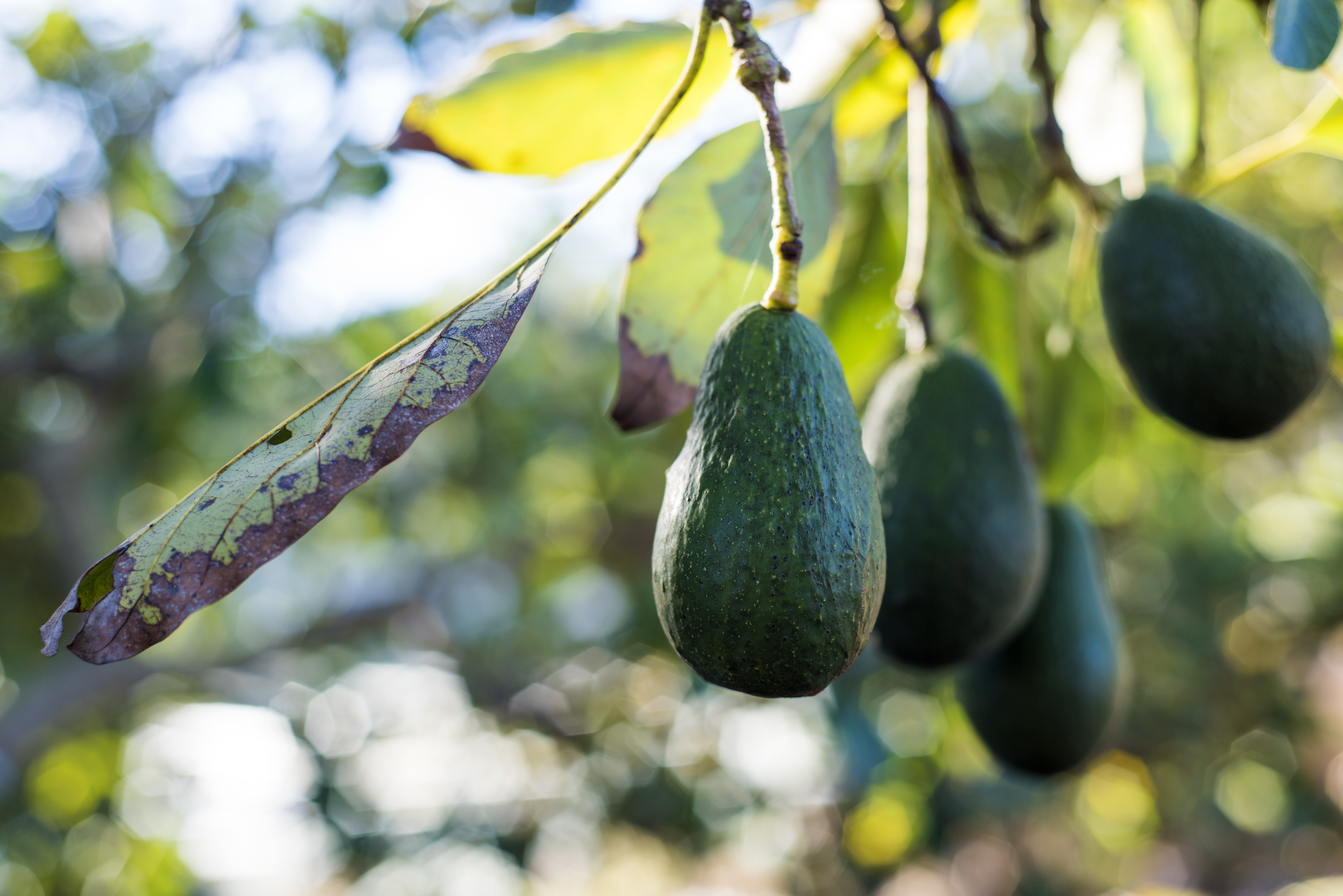 Conditions Required to Grow an Avocado Tree | Home Guides | SF Gate