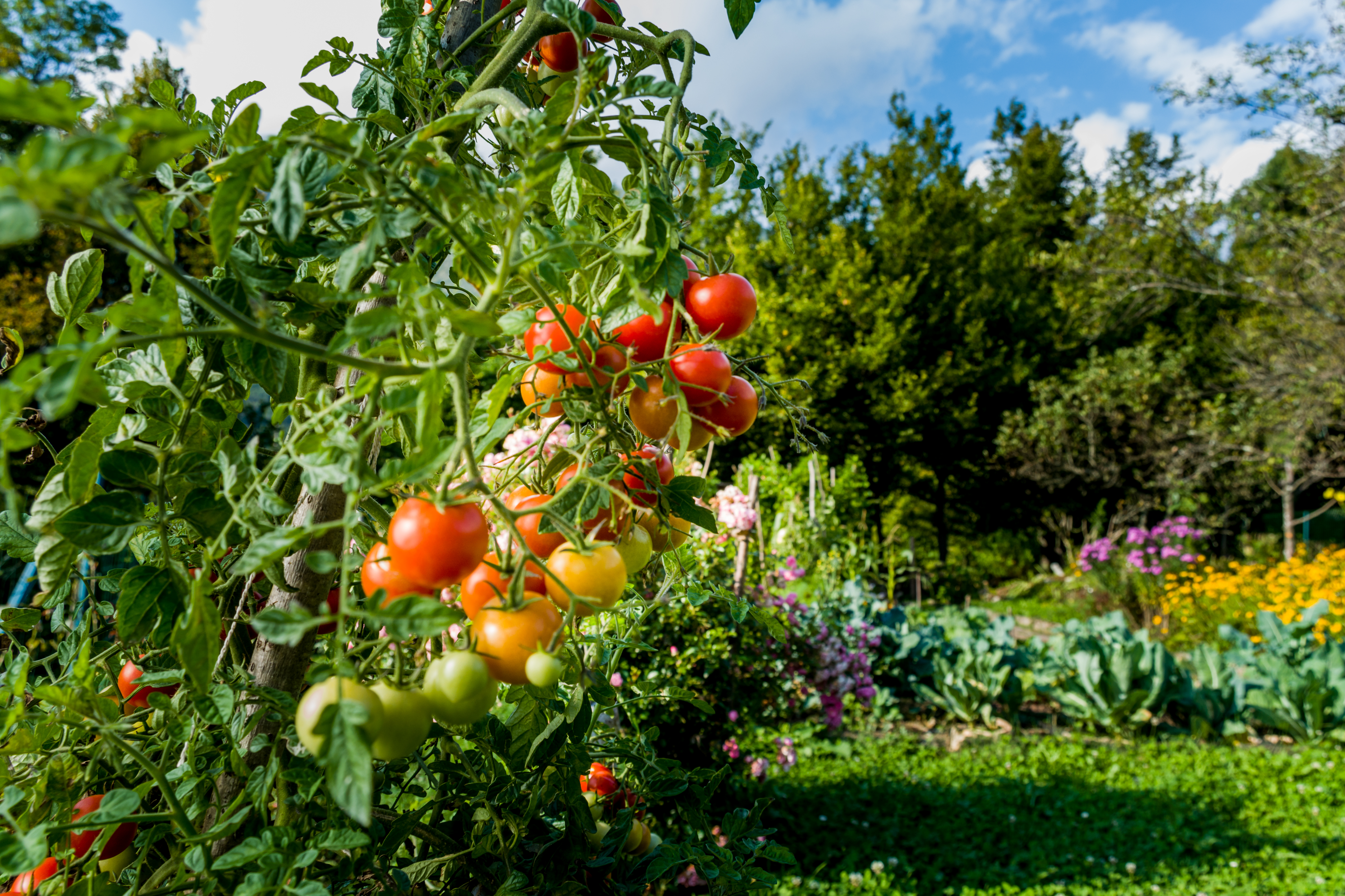 Remedies for Leaf Curl in Tomato Plants | Home Guides | SF Gate