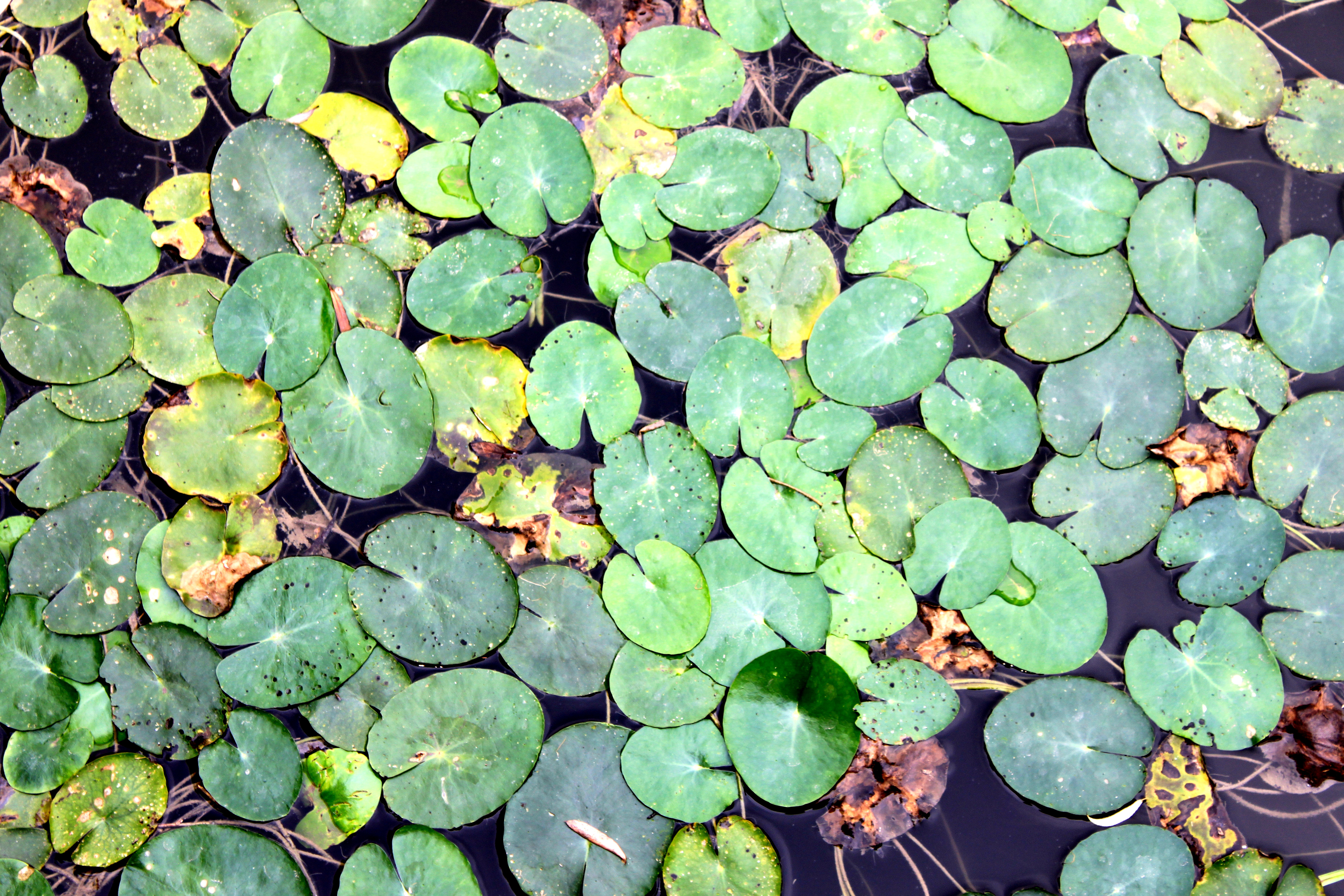 How To Kill Duckweed Cheaply