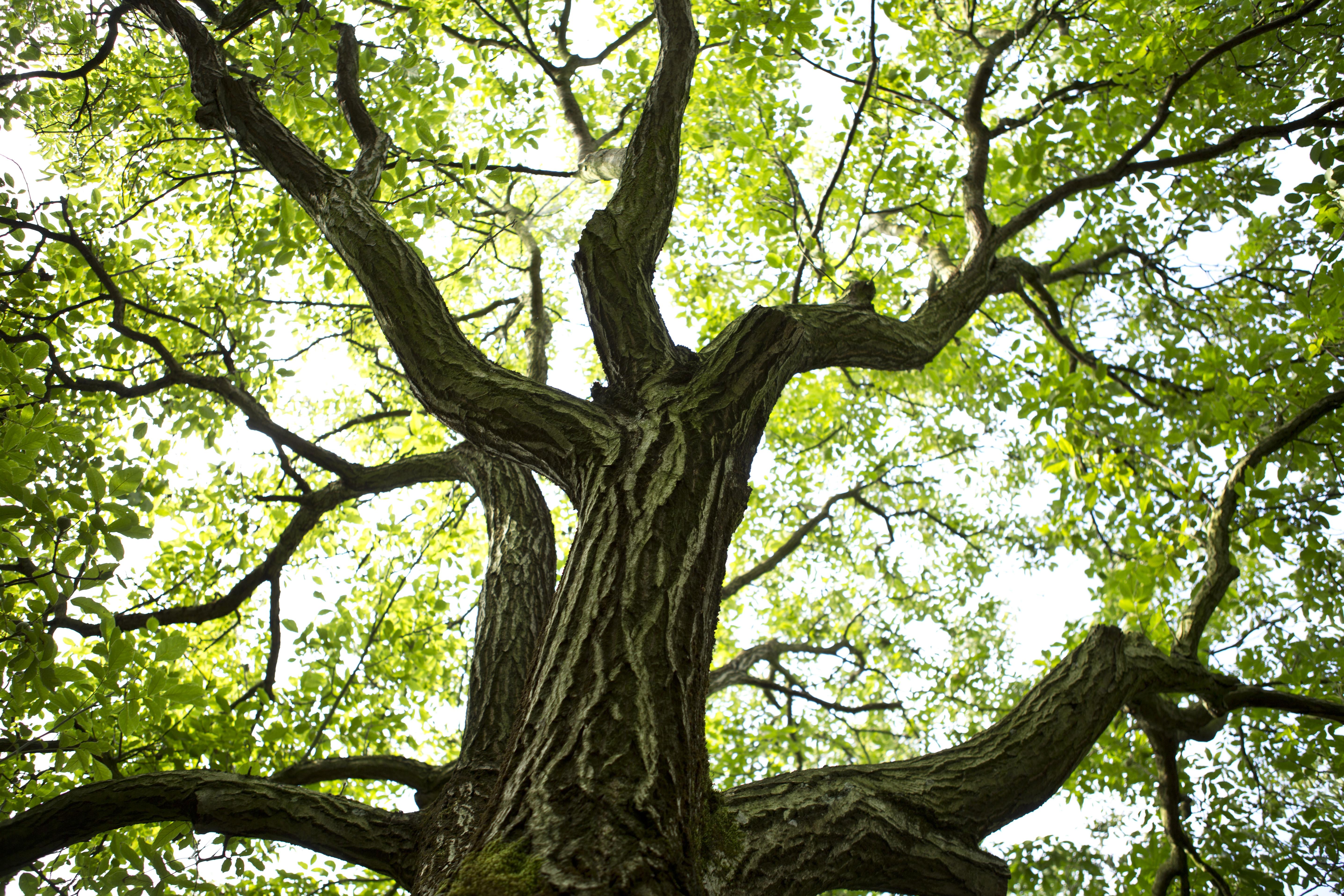 How to Identify Walnut Trees | Hunker