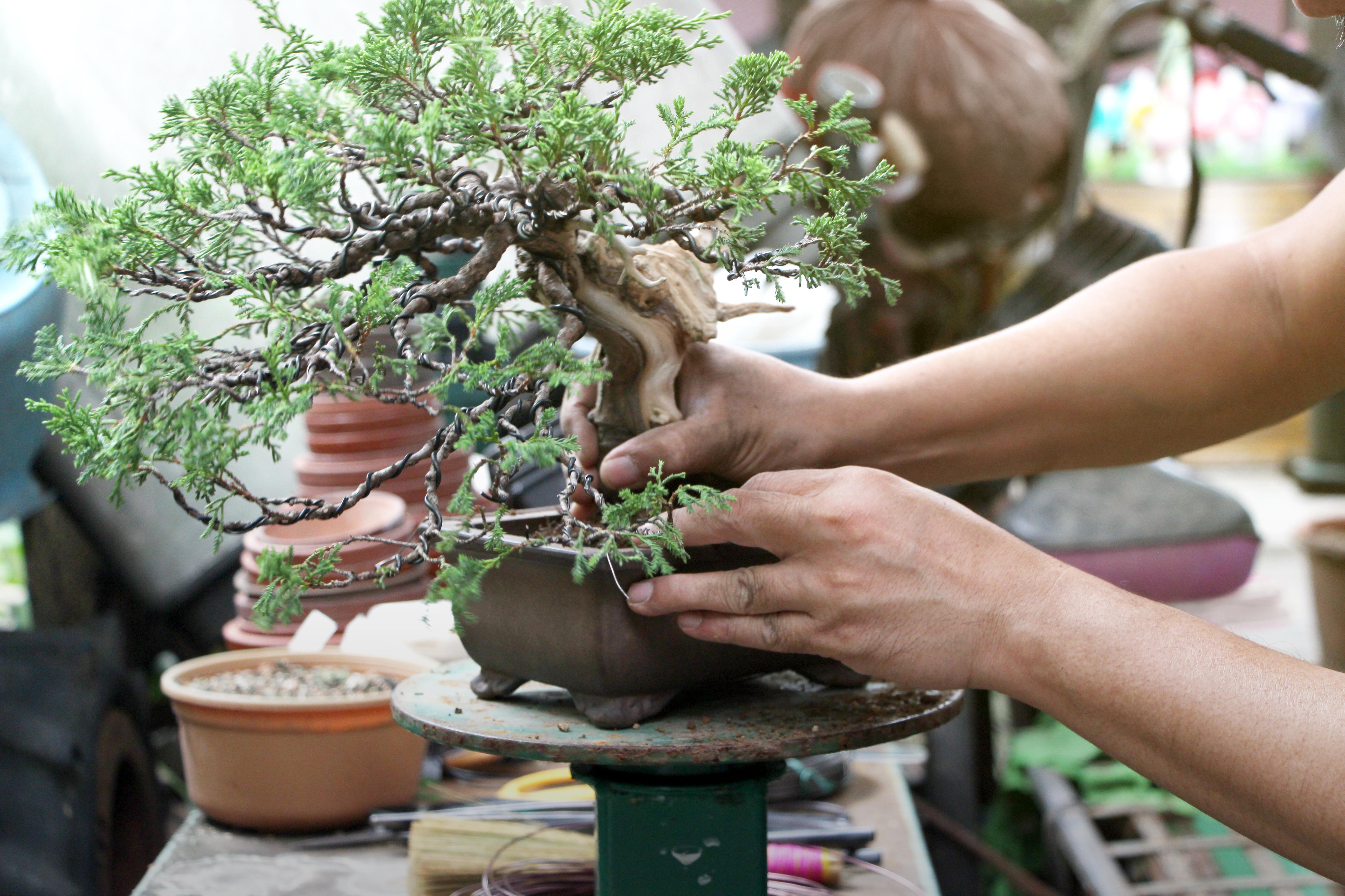 How To Grow A Japanese Juniper Inside