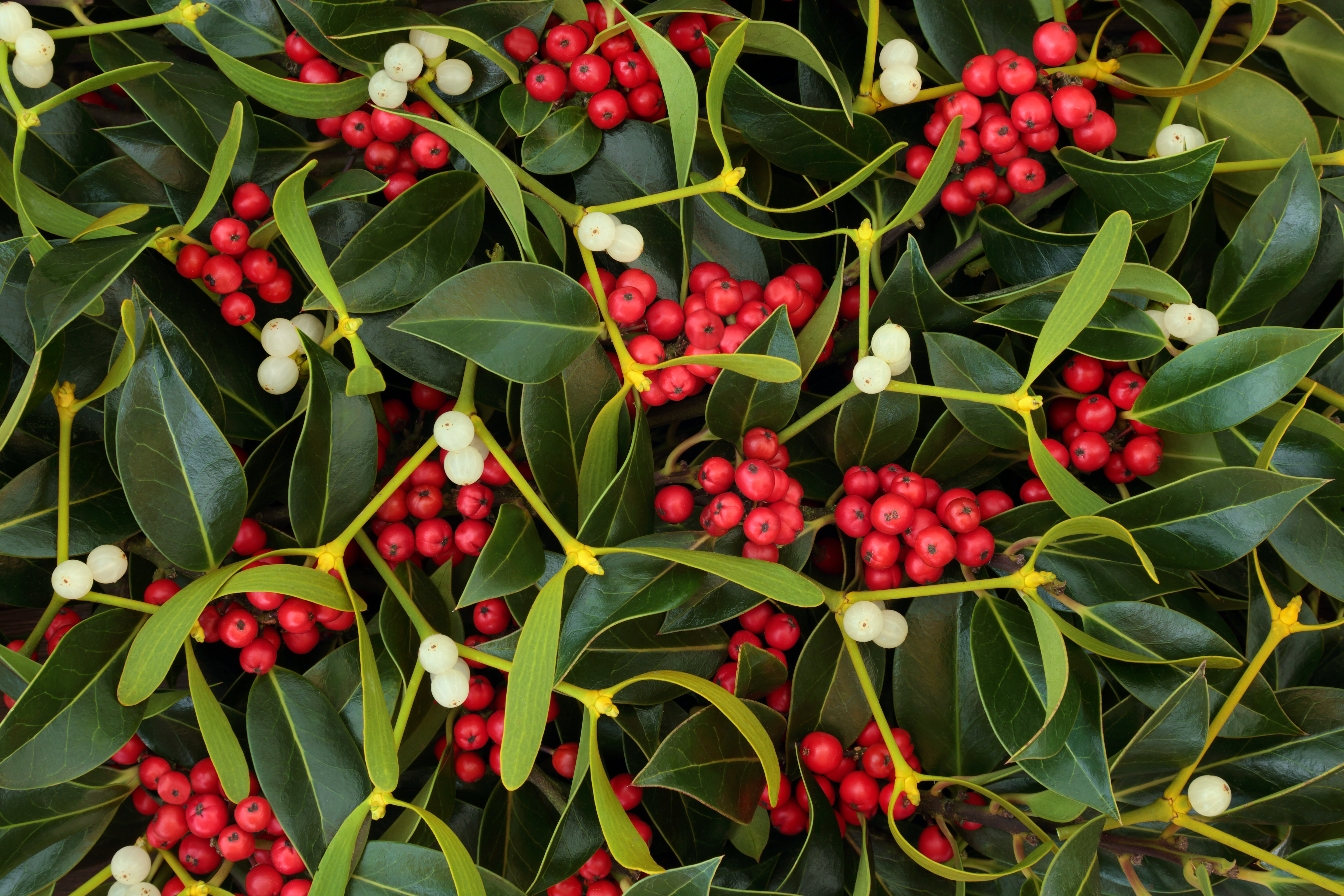 Instructions For Planting Caring For A Holly Bush Home Guides