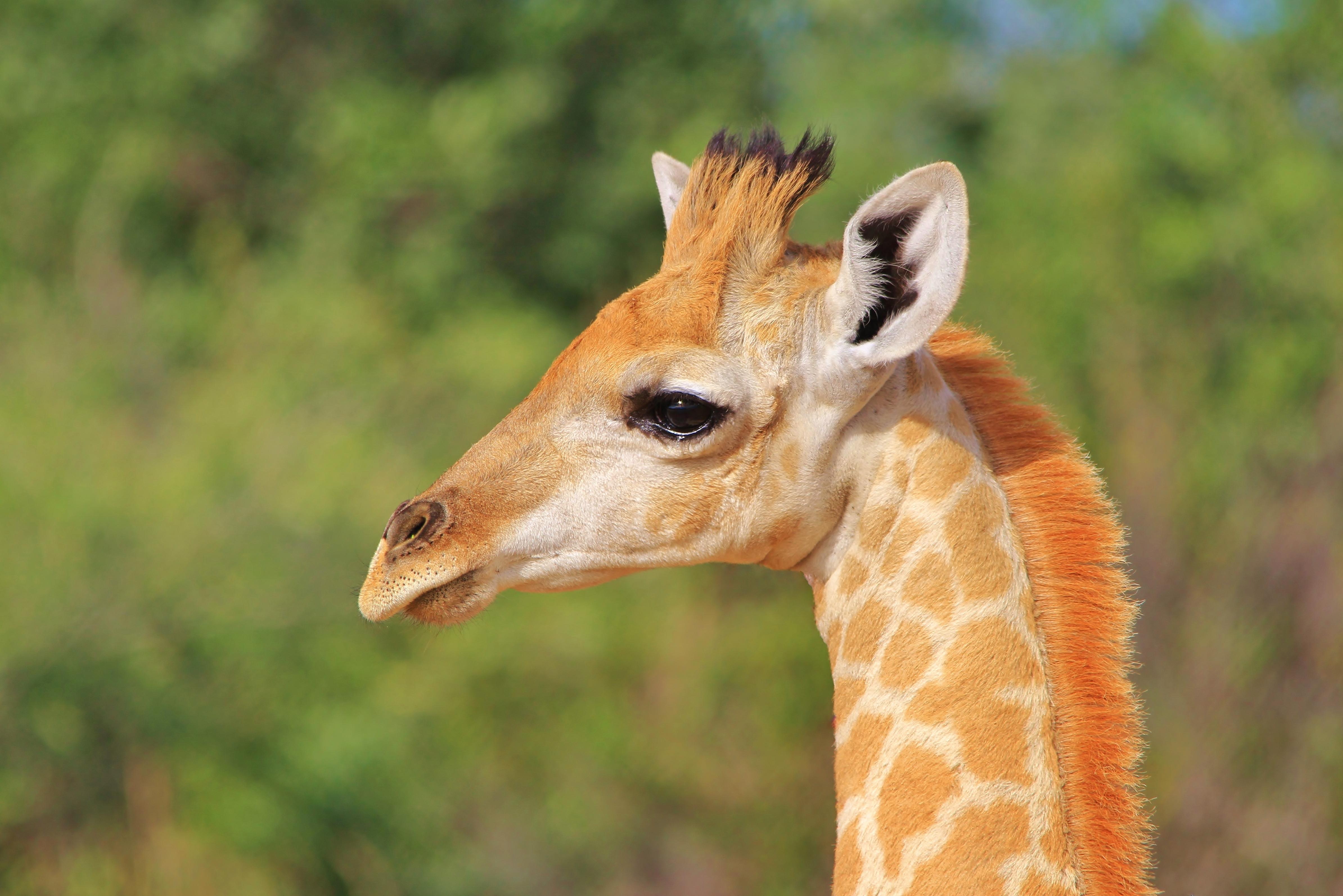 A Giraffe Calf Grows Up (Baby Animals)