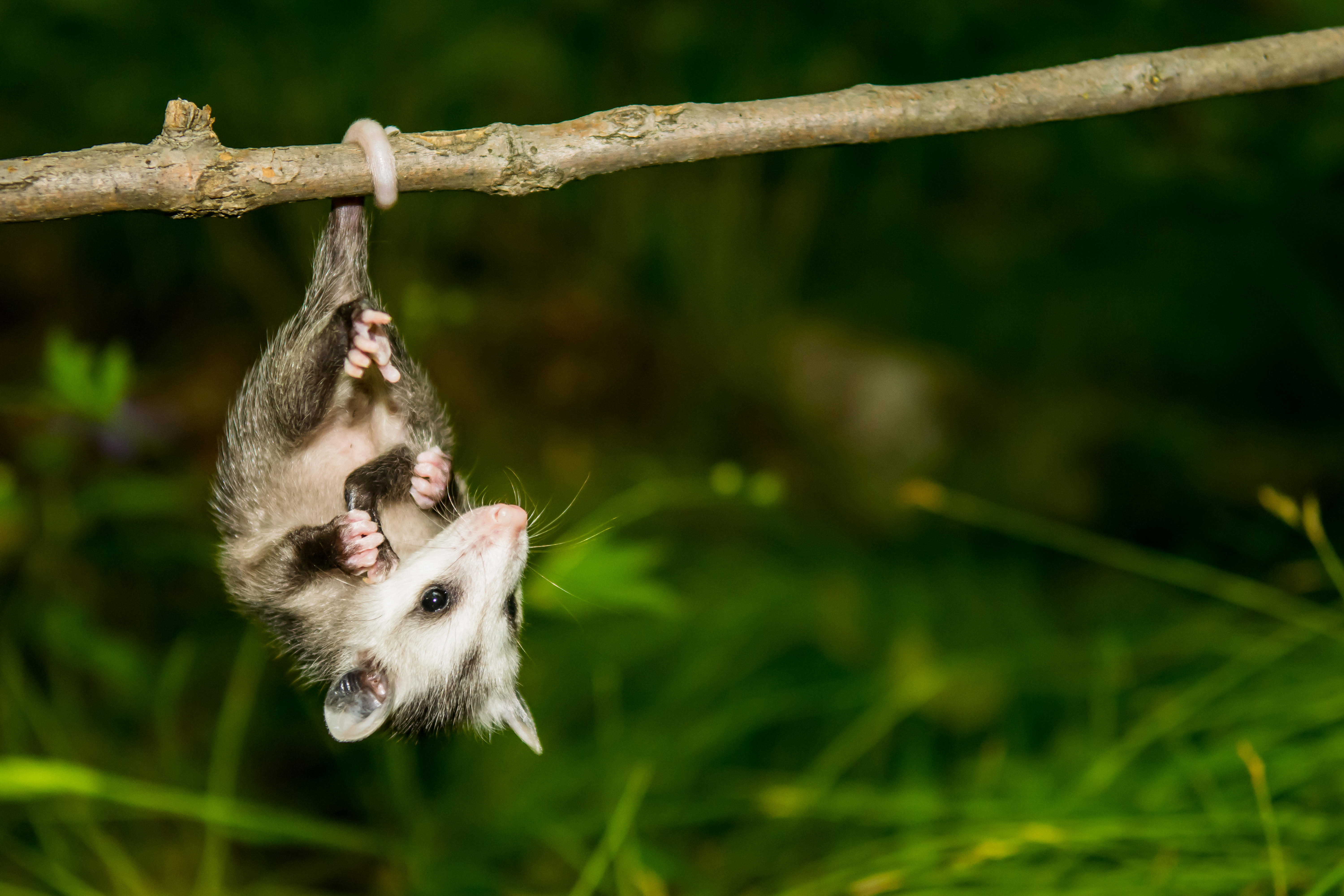 How To Get Rid Of A Possum In Your Garage home remedies to get rid of a possum | home guides | sf gate