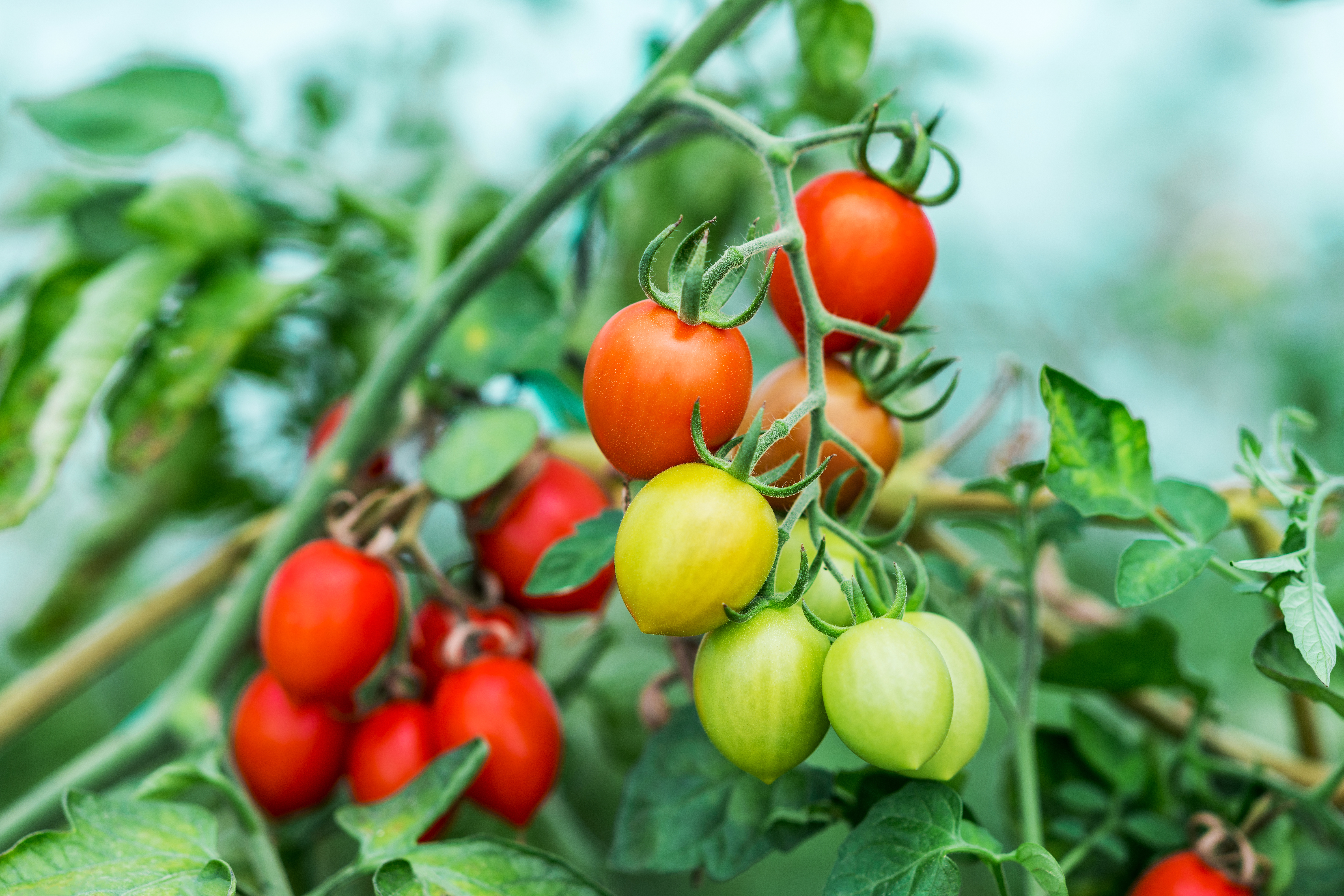 Natural Ways to Kill Blight on Tomatoes | Home Guides | SF Gate