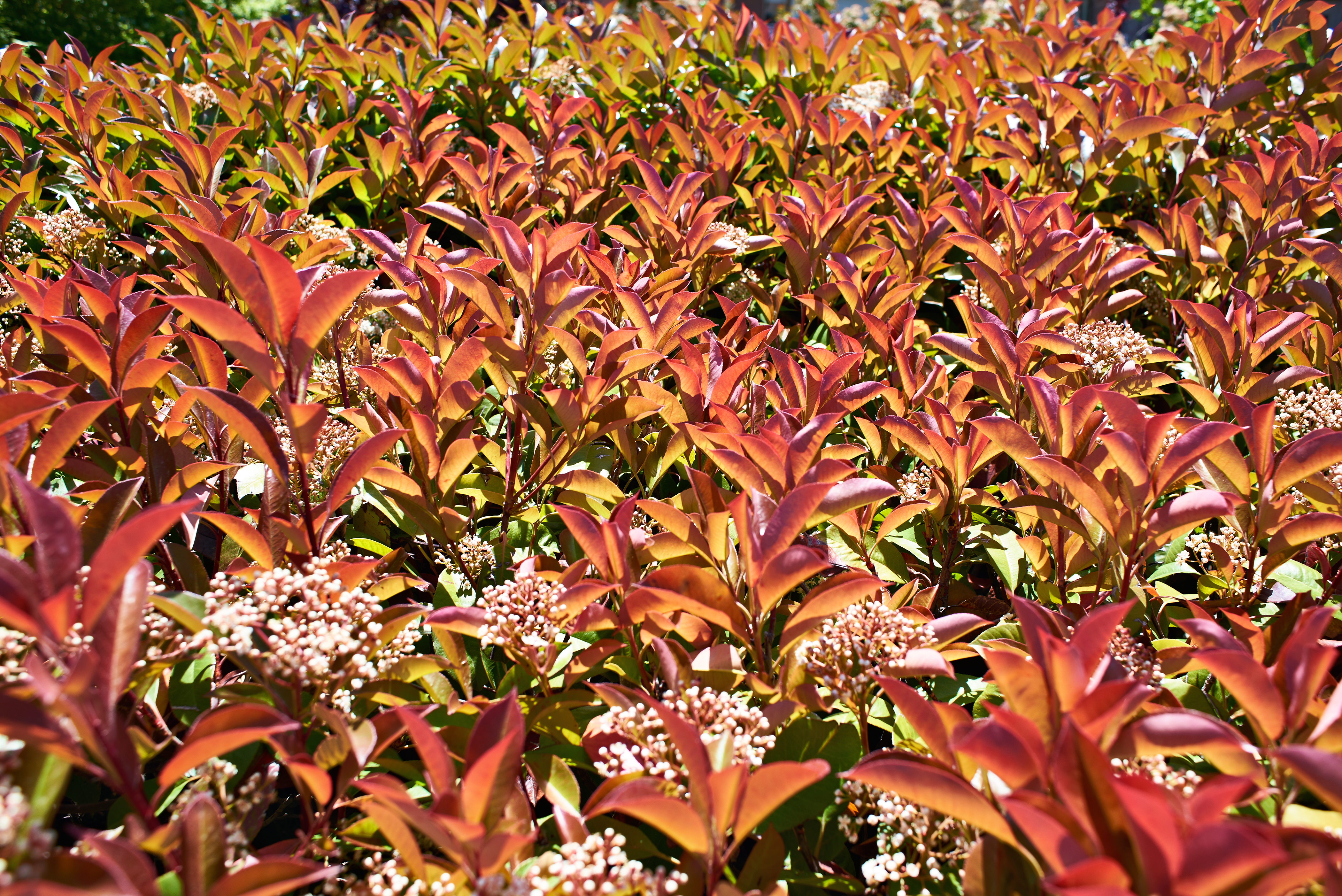 How to Cure Black Spots on a Red Tip Photinia | Home Guides